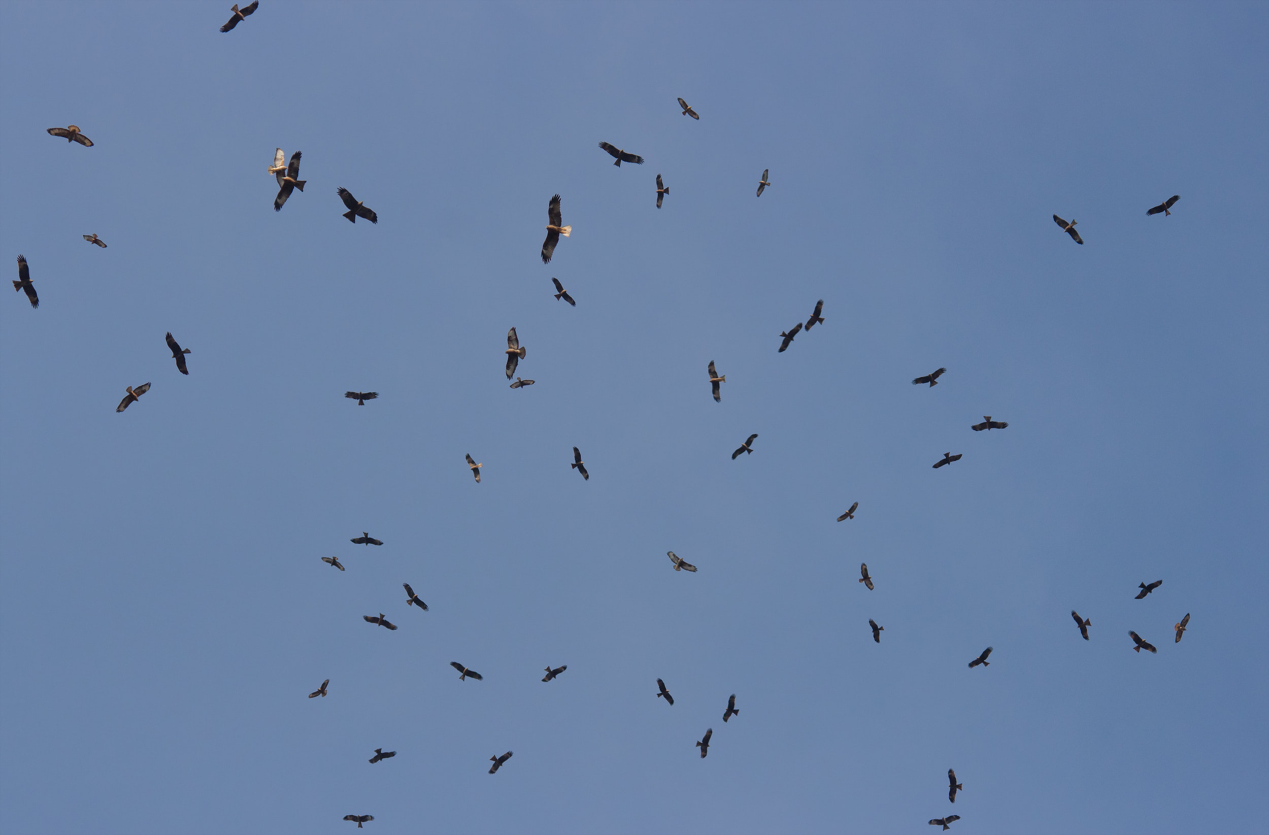 Mixed flock of Black Kites, Steppe Buzzards and a Booted Eagle. Photo by Tohar Tal.