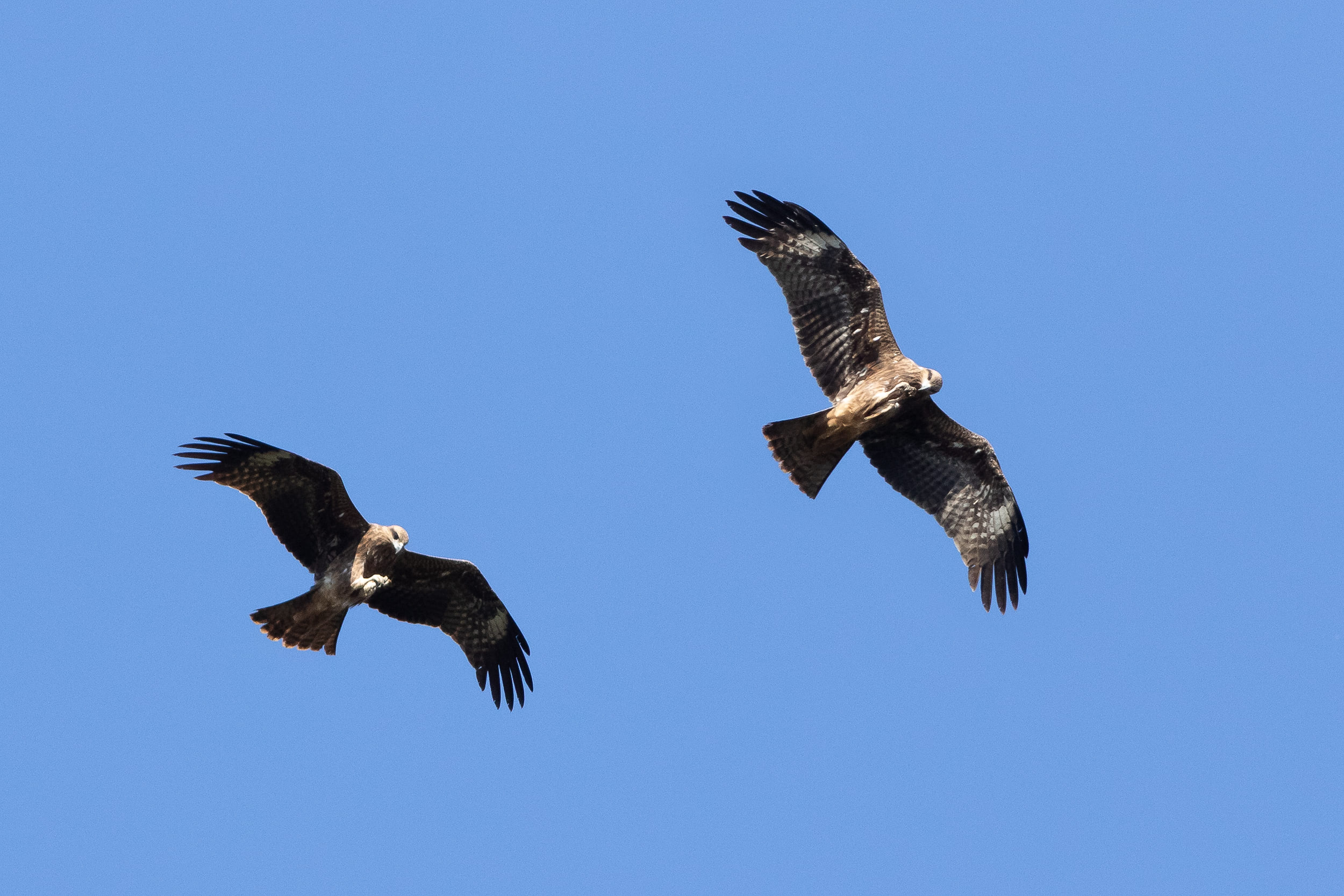Black Kites having lunch in the air. Photo by Diego Jansen.