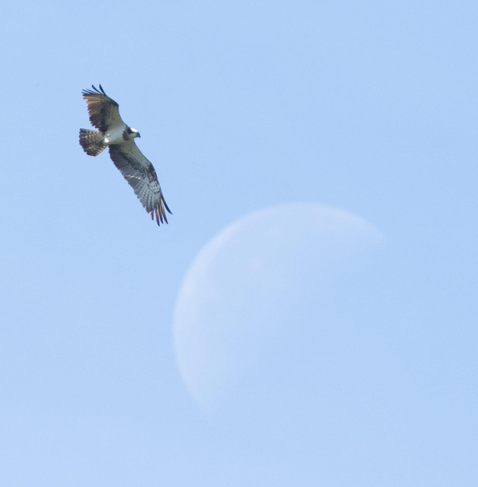 Osprey reaching lunar heights. Photo by Diego Jansen.