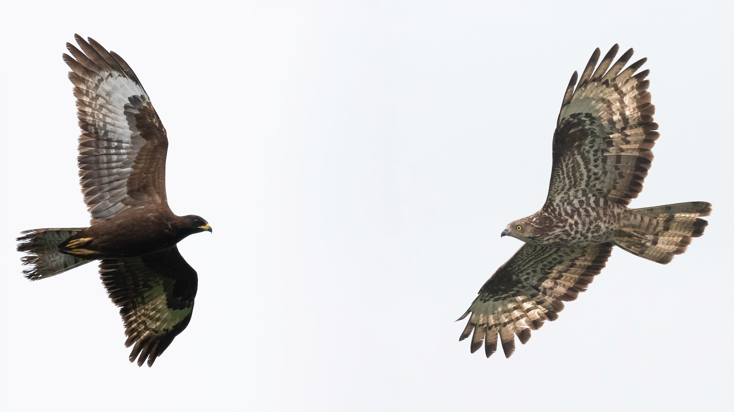 Juvenile (left) and adult female (right) Honey Buzzard. Photo by Bart Hoekstra.