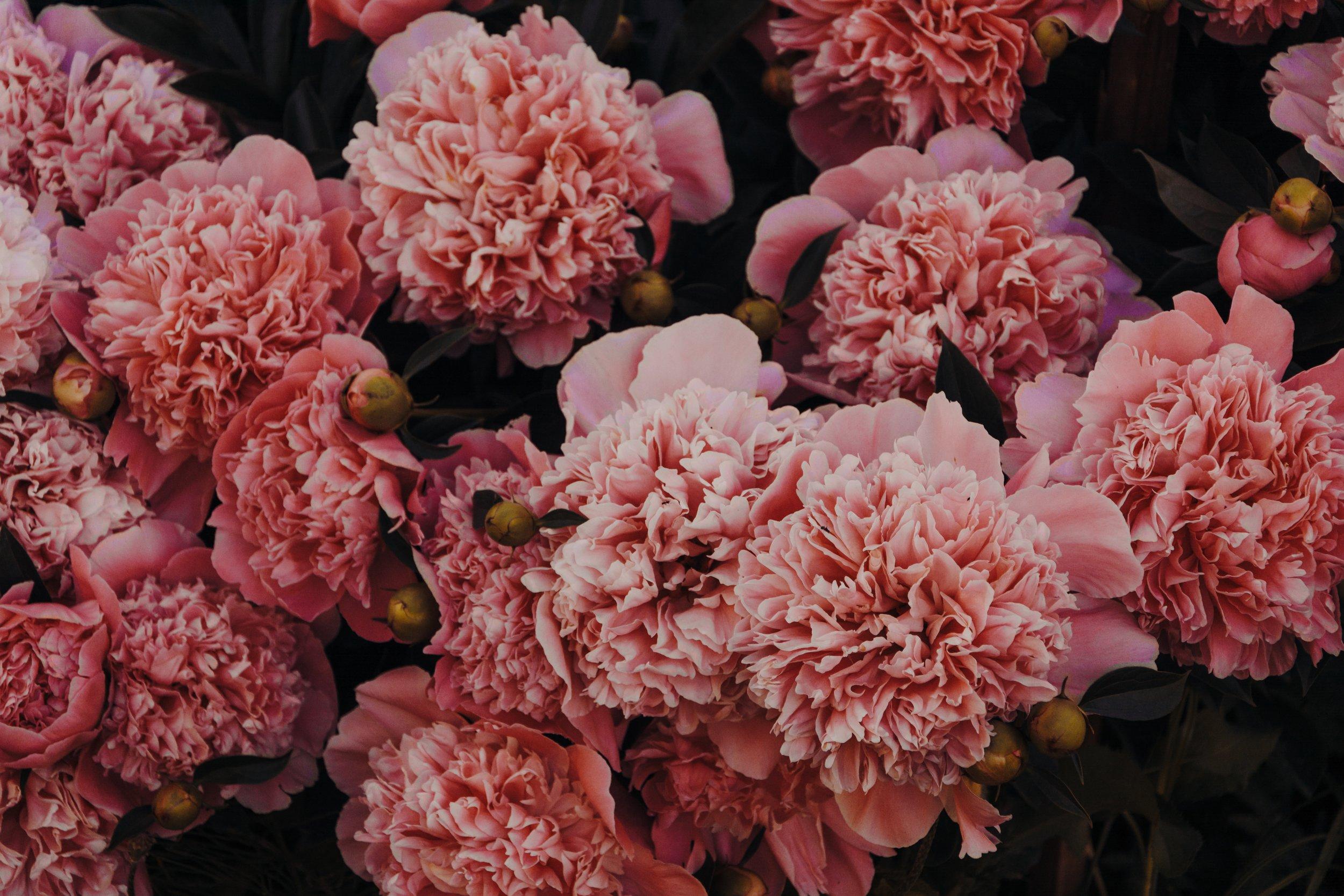 pink carnations.jpg