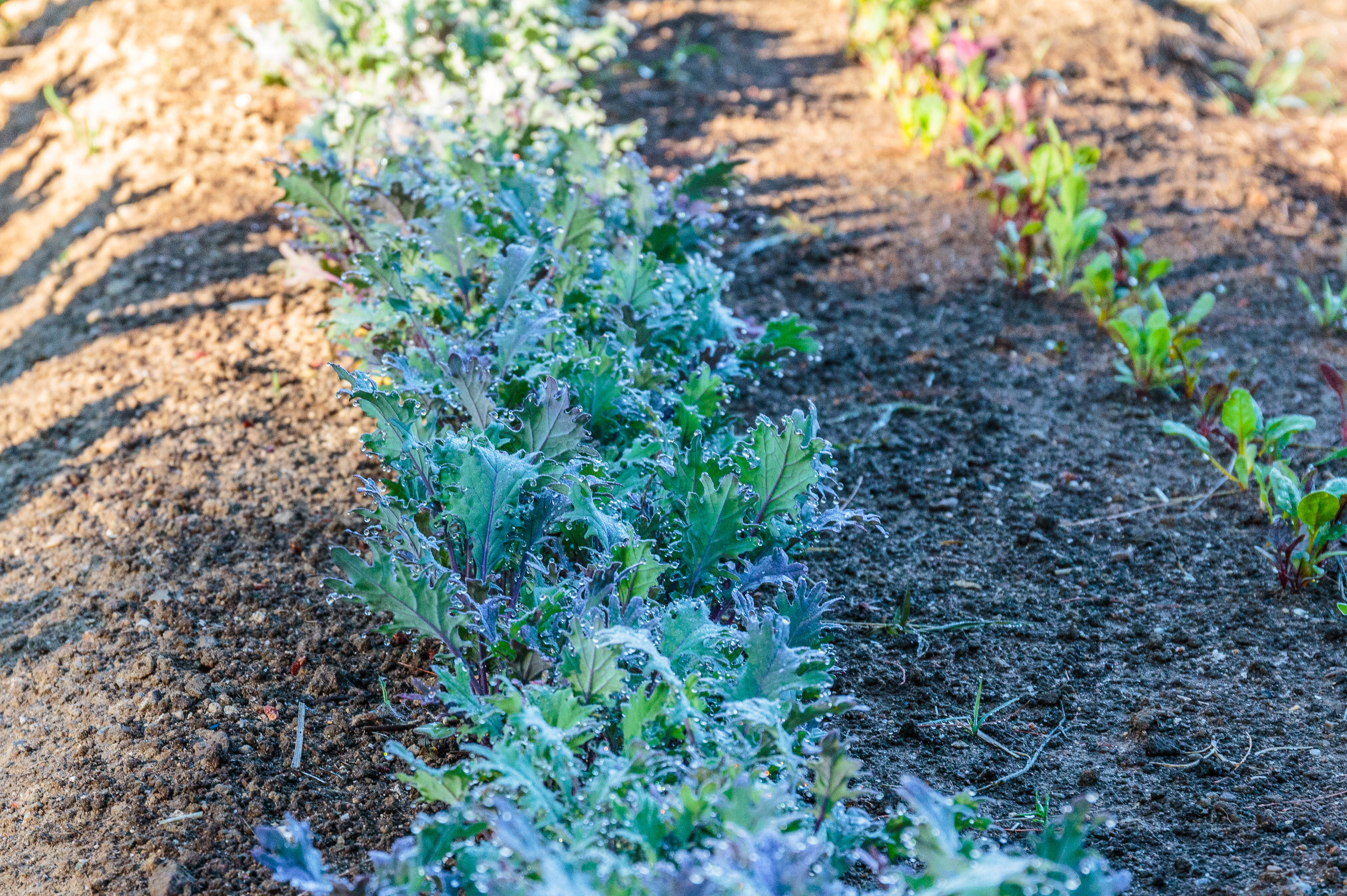 Baby kale is one of our favorite crops. It has the eating quality of lettuce with the nutrition profile of kale. And it's beautiful.