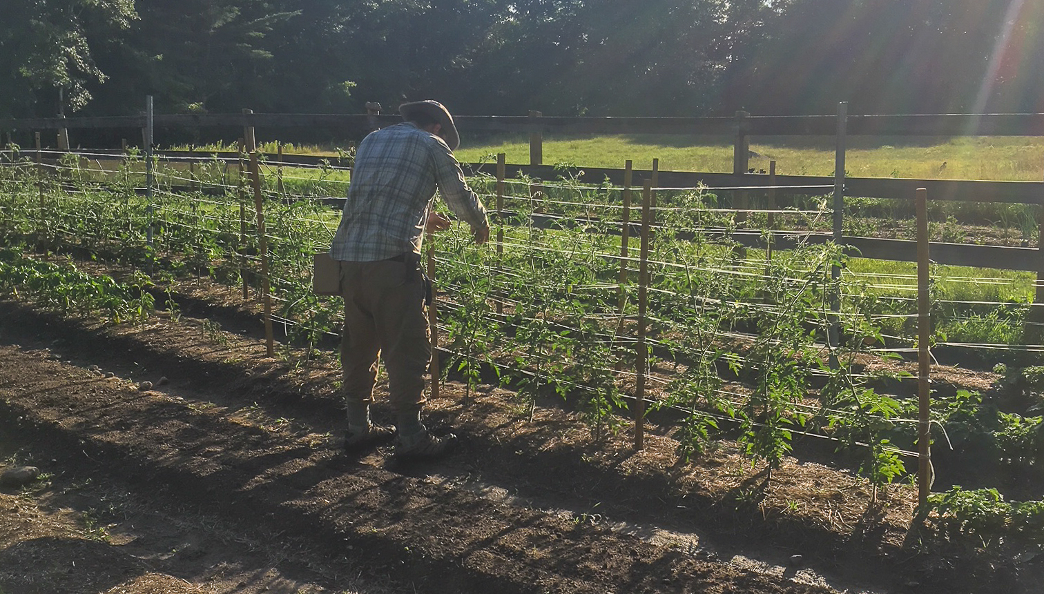 We train our indeterminate cherry tomatoes to two or three leads in a weave trellis.