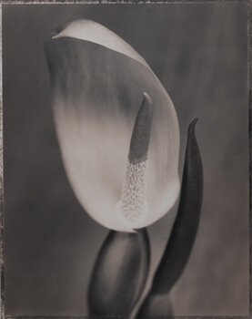 RON VAN DONGEN    Alocasia Macrorrhiza,  1997   Toned gelatin silver print 20 x 16 inches Edition of 50, signed Retail framed: $2,250 © Ron Van Dongen; courtesy G. Gibson Gallery     Learn More