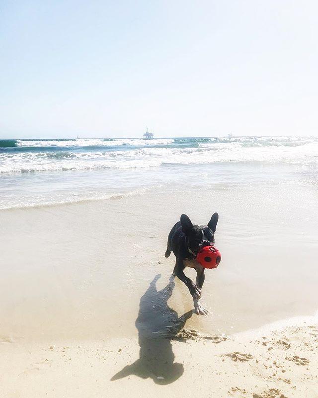 SpikeDog goes to the beach   pt. II ⛱ #spikethemutt #spikedogsbigadventures #acoupleofcrookes #huningtondogbeach