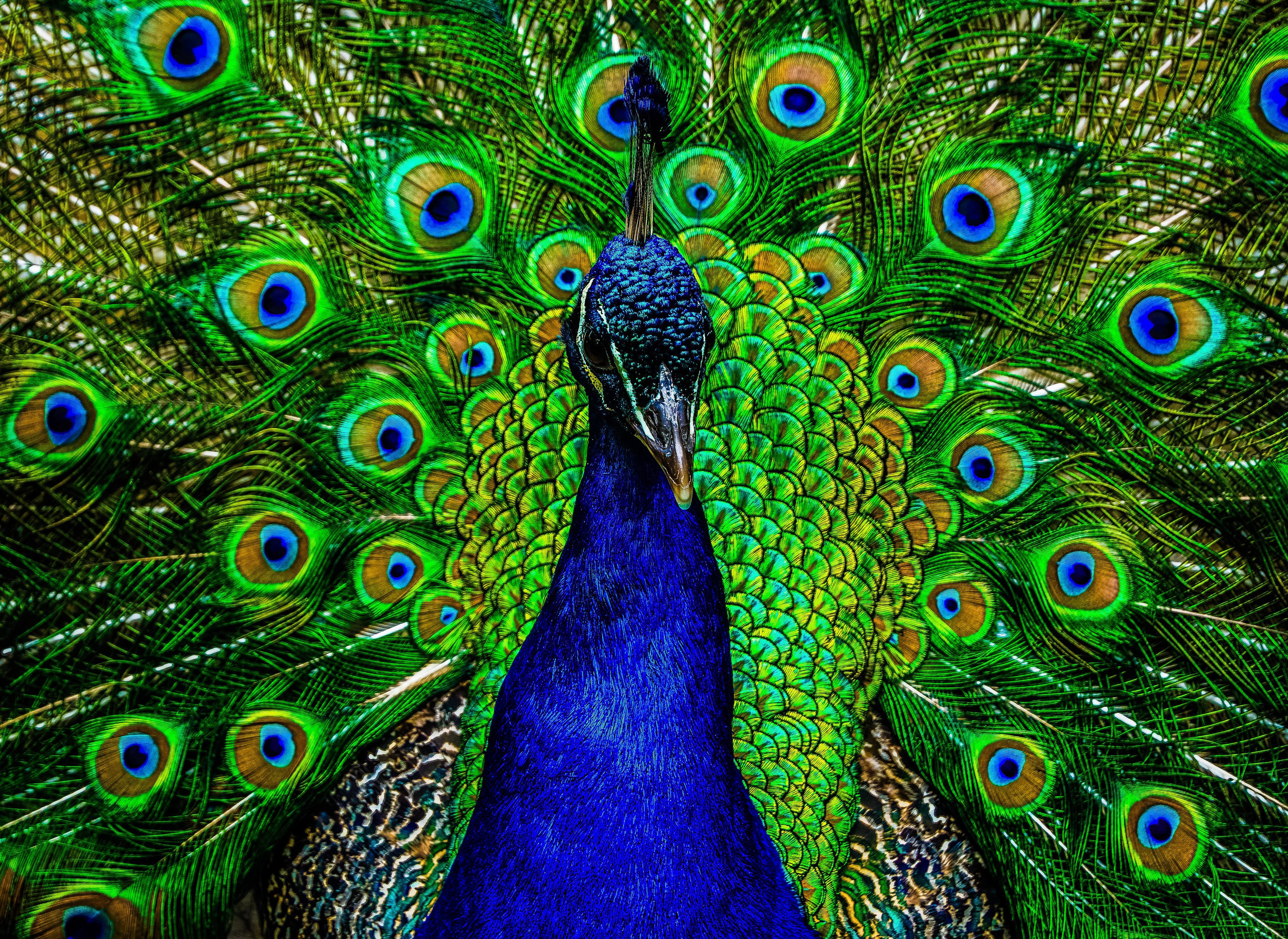 Peacock Resized.jpg