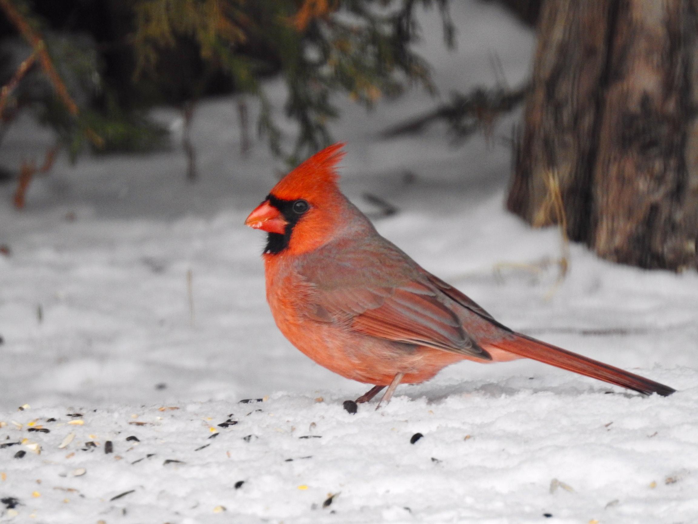 Paul Psaila - Cardinal.jpeg