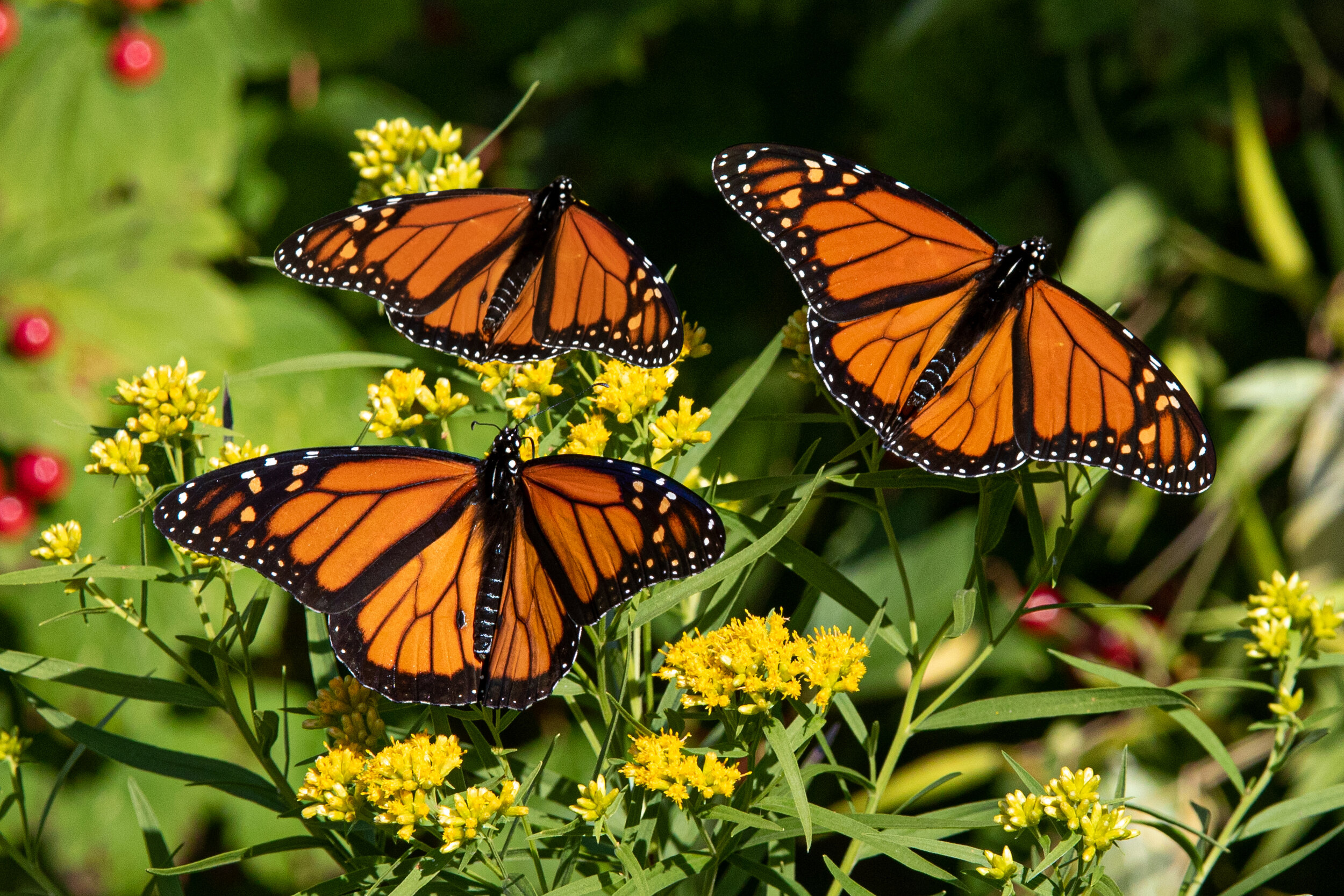 Three Monarchs in Migration - Alice Hebb.jpg
