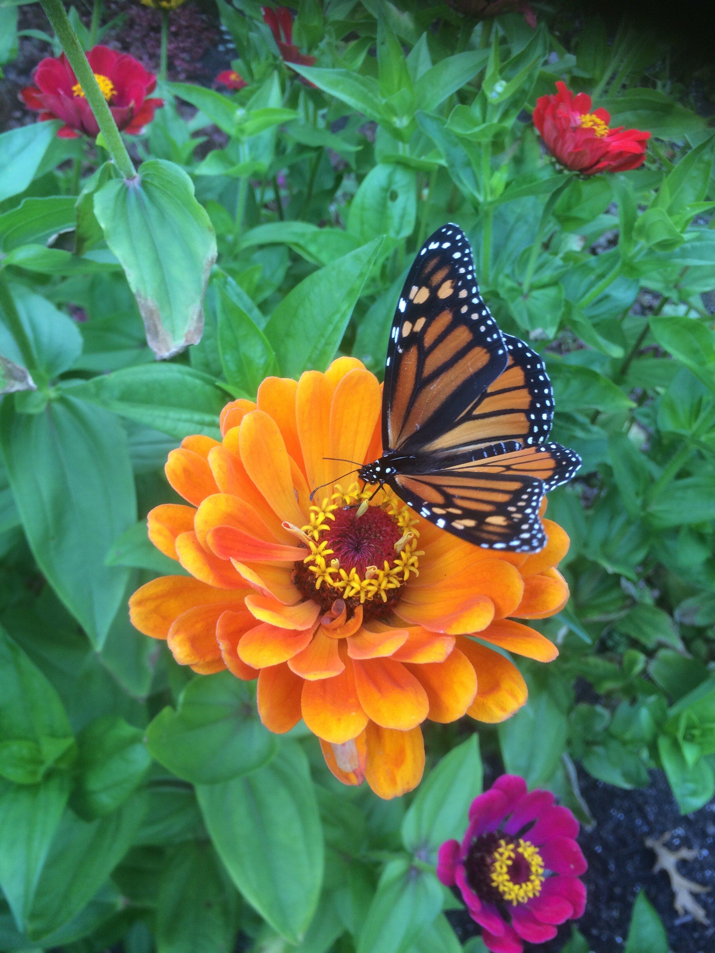 Three Monarchs in Migration - Alice Hebb.jpg