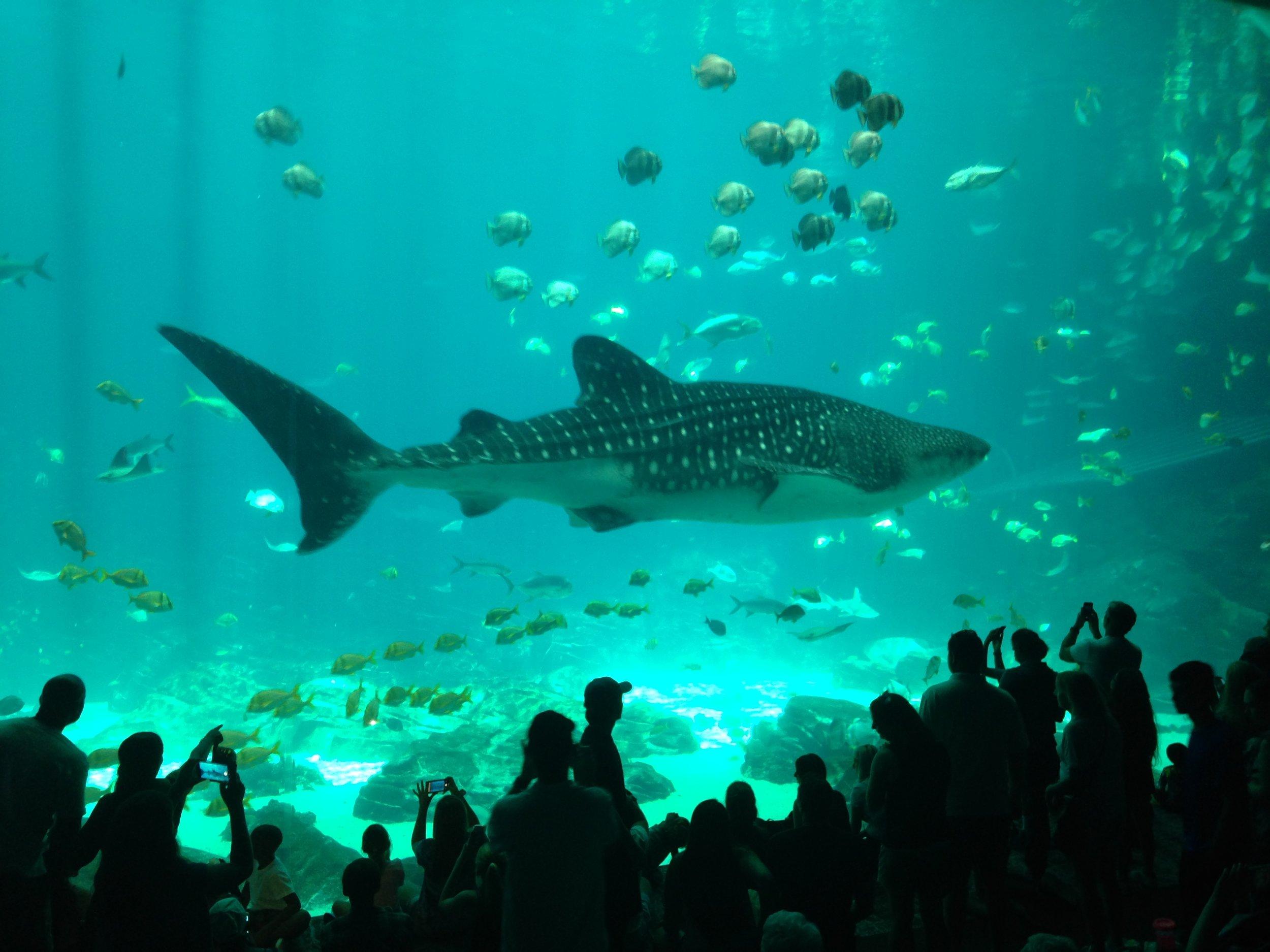 Photo Sharron M. Swain. One of the whale sharks at the Georgia Aquarium.