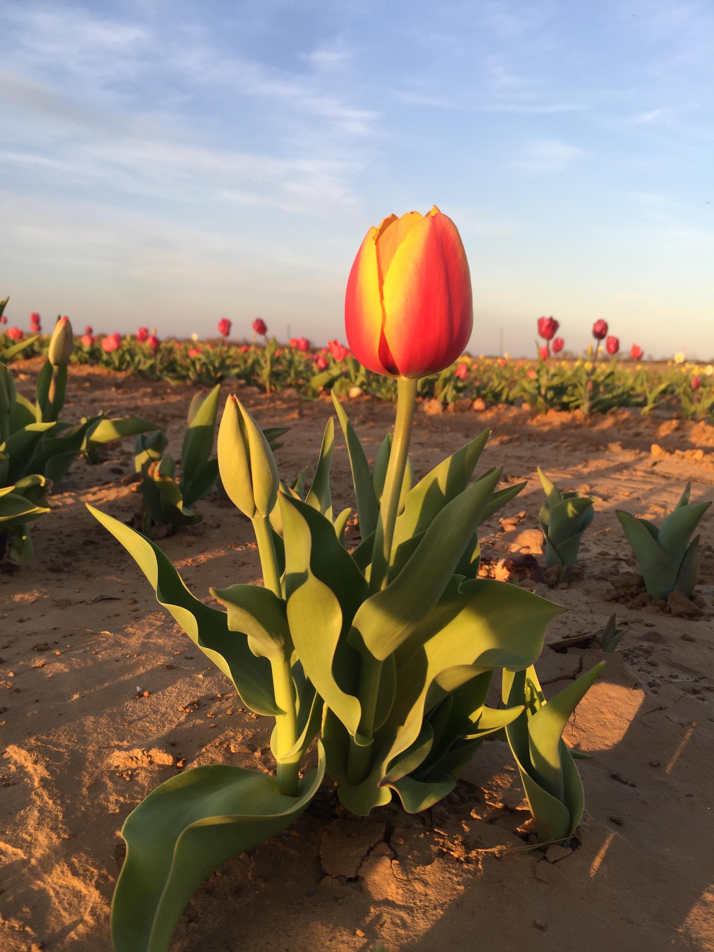 Tulips3.JPG