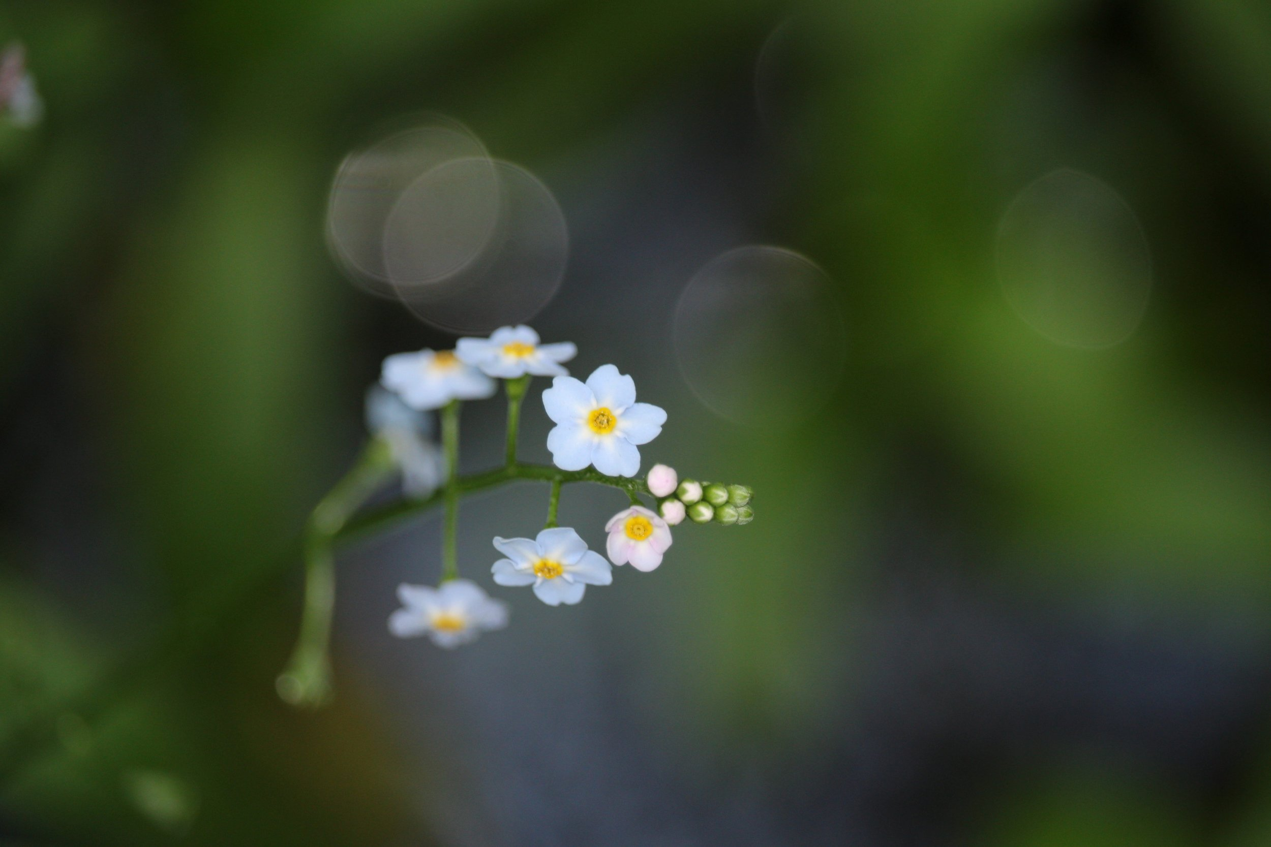 Forget-Me-Nots (Shu Swamp Preserve)