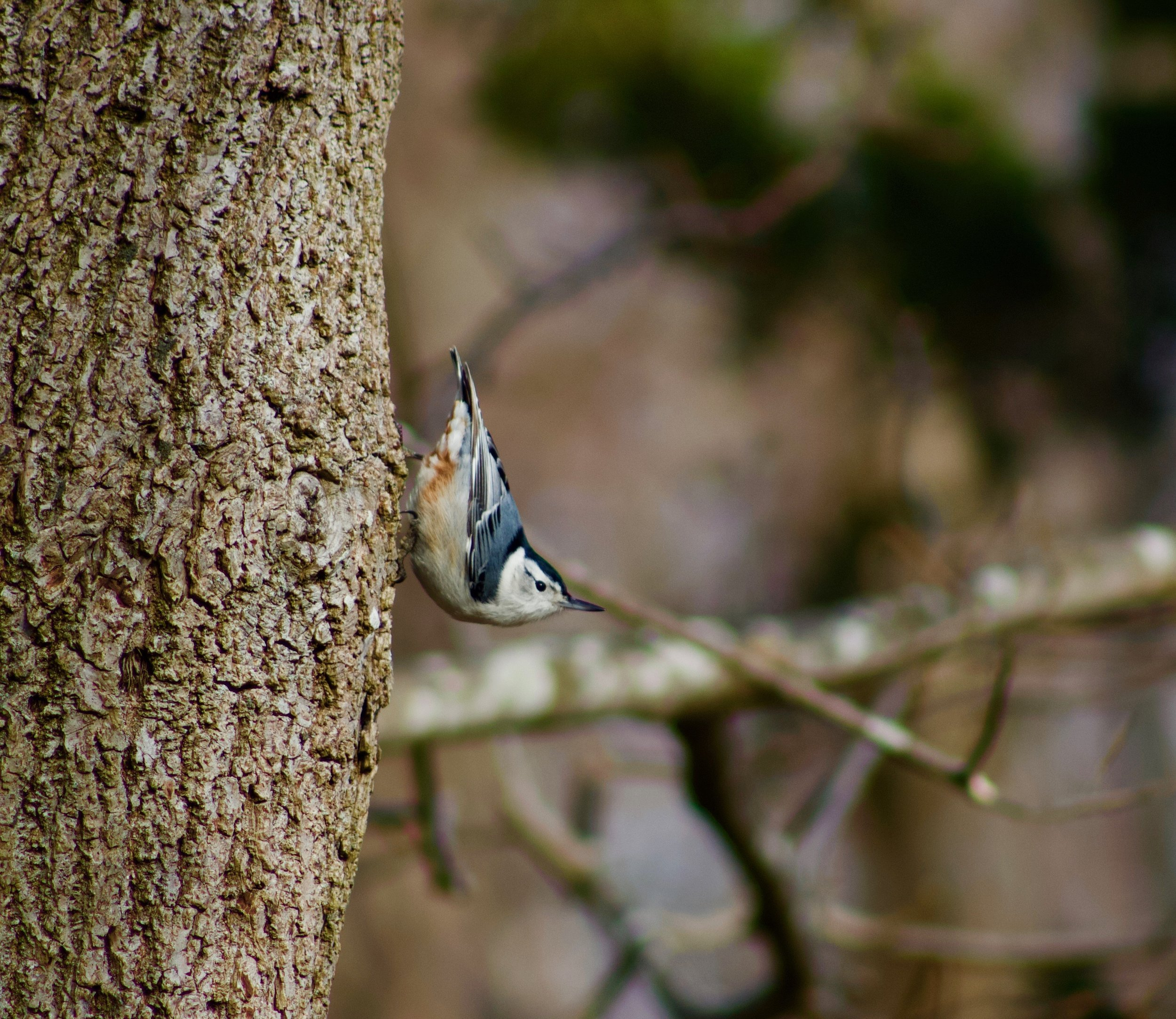 Nuthatch (Inlet Pond County Park)