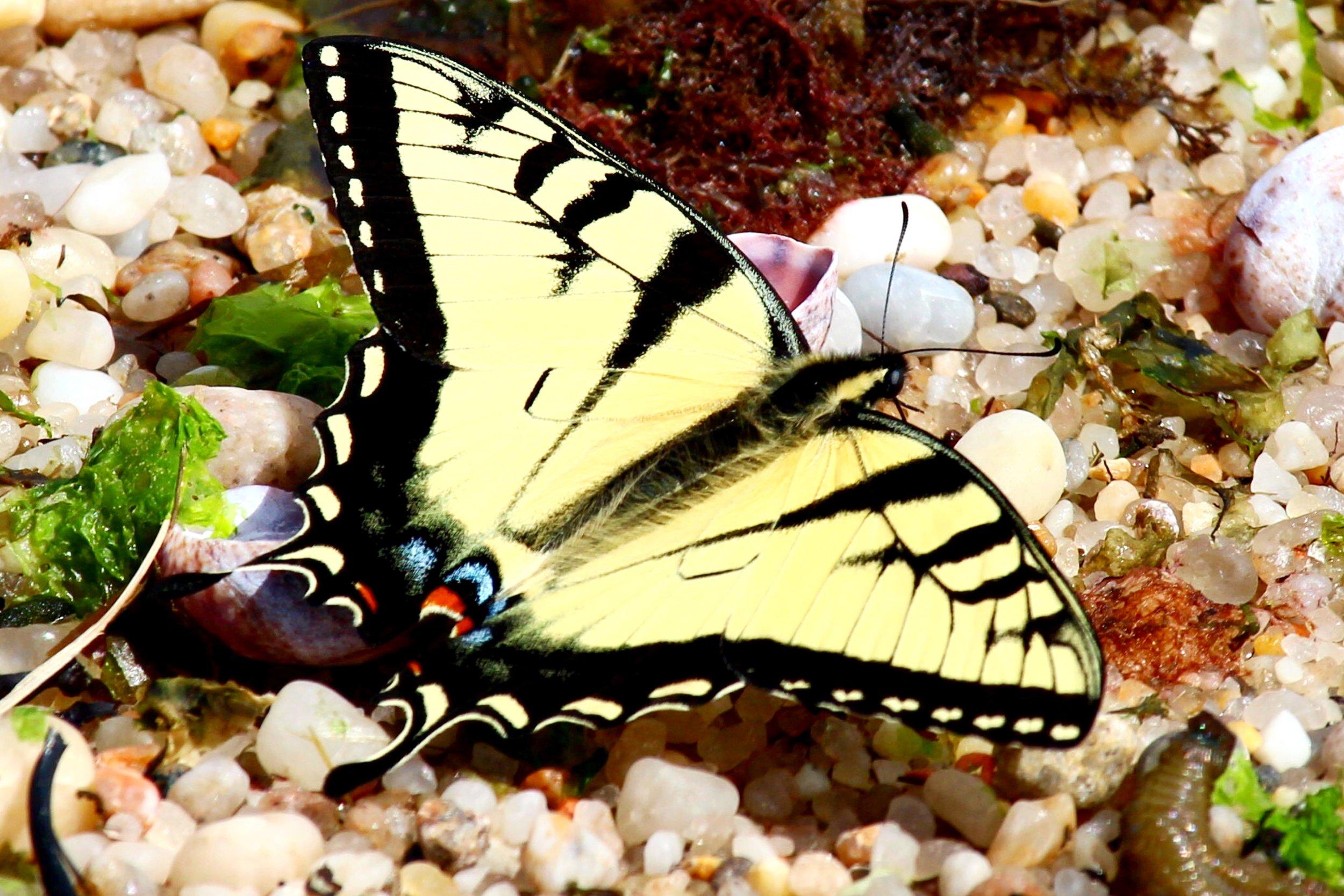 Eastern Tiger Swallowtail (Wildwood State Park)