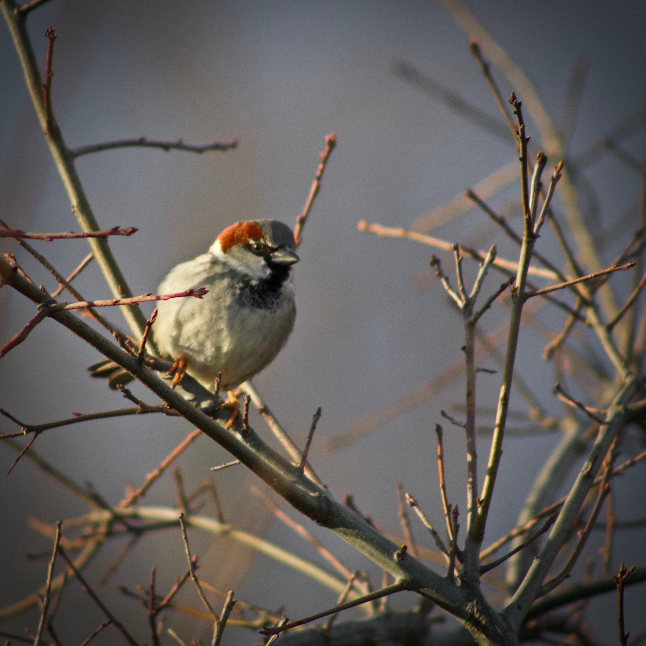 House Sparrow @ Sunken Meadow