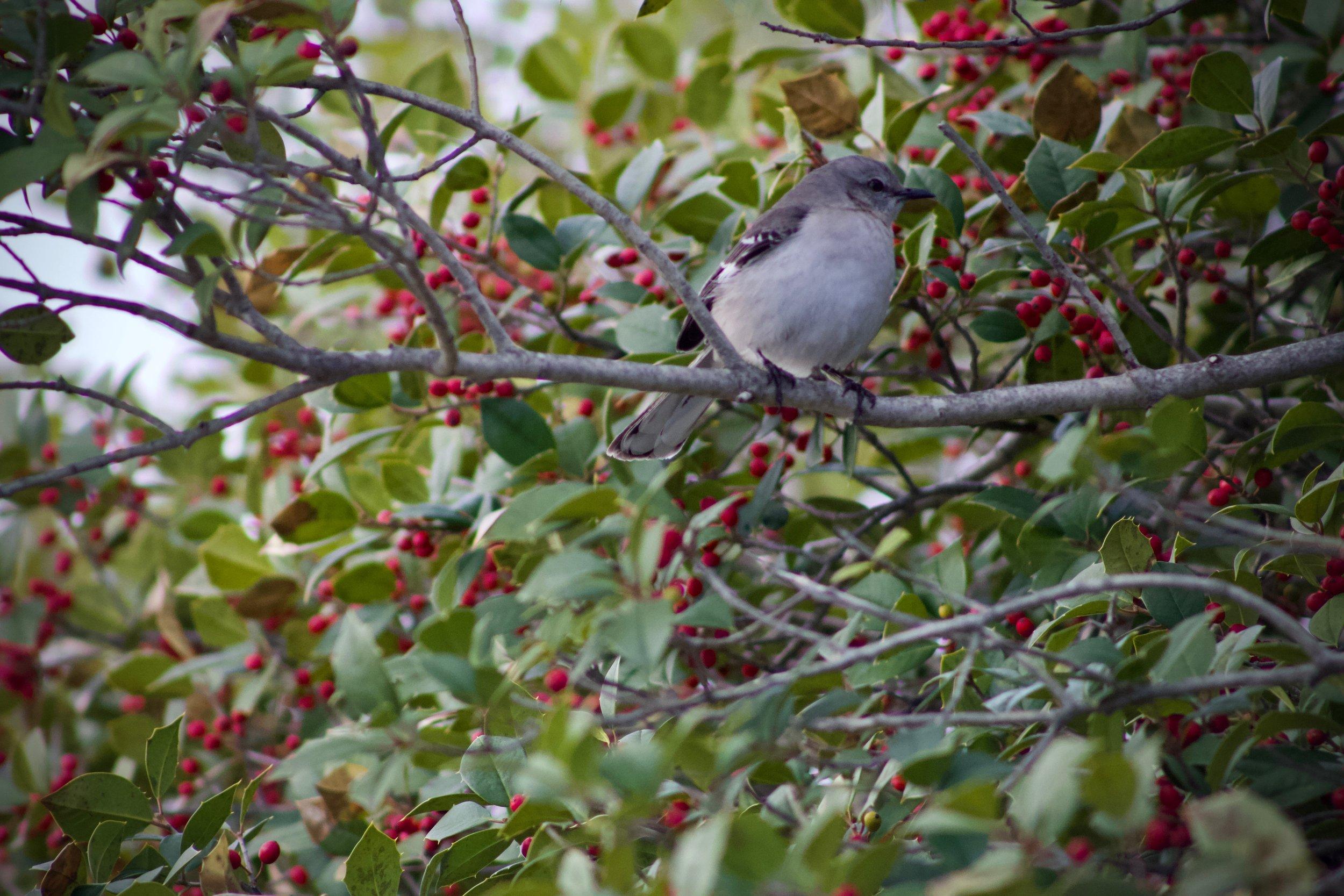 Mockingbird at Sunken Meadow
