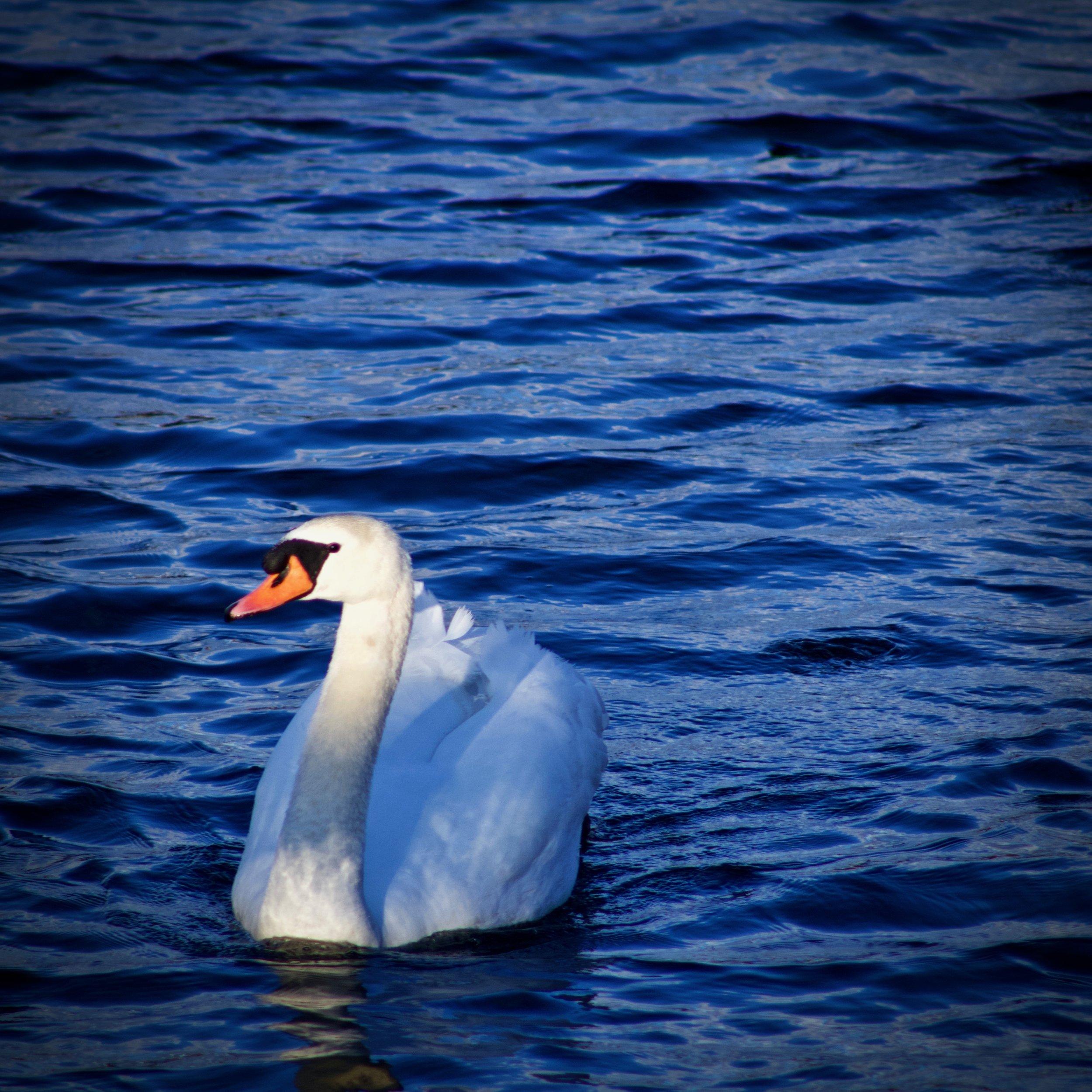 Mute Swan at Sunken Meadow