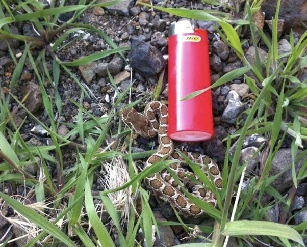 A baby rattlesnake in Eastern WA. Standard size Bic lighter included for size comparison.