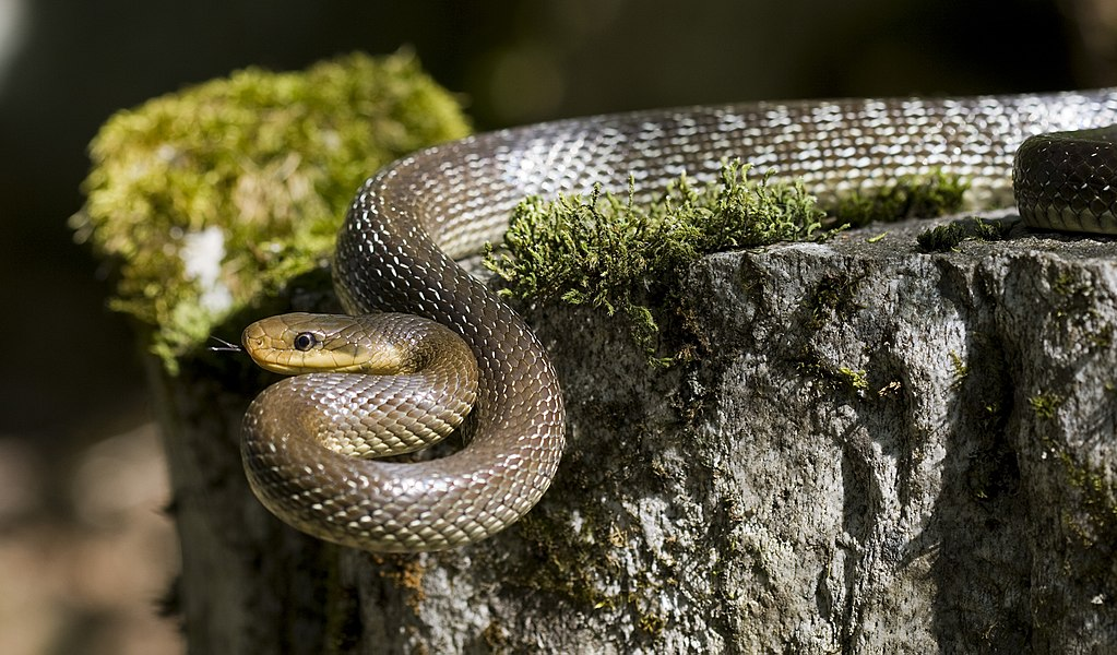 The real Aesculapian Snake ( Zamenis longissimus ), a harmless species found in Europe that was lived in the  Asclepeion  temples and was often used as part of the healing ceremonies. Photo by Felix Reimann from the  Wikimedia Commons .