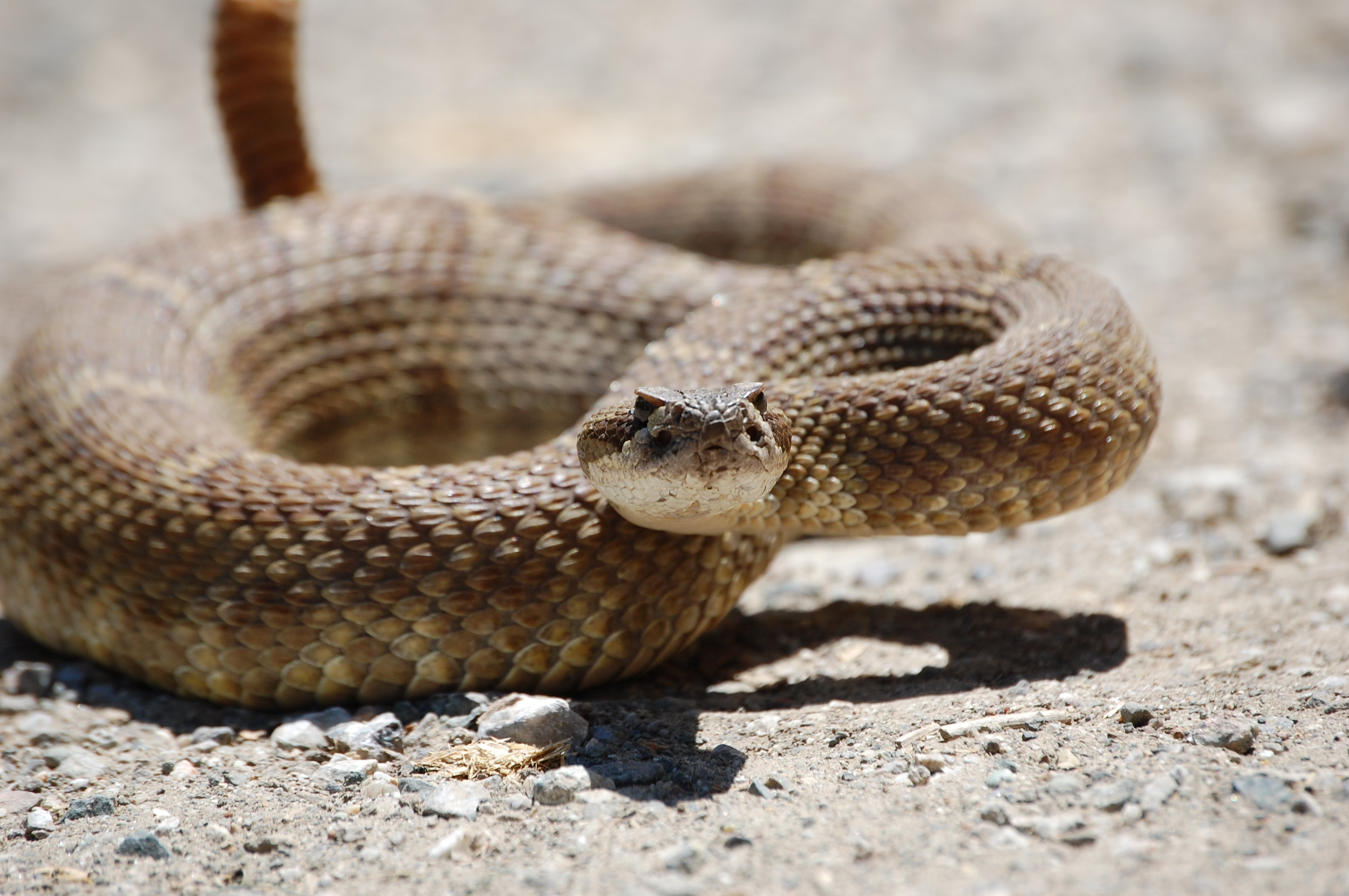Western Rattlesnake ( Crotalus oreganus ). Never - I repeat, NEVER - use a pressure-immobilization bandage for a viper bite (this includes rattlesnakes) and never use a tourniquet for any snakebite whatsoever. Pressure-immobilization bandaging will make viper bites much worse and could cost you your limb when it could otherwise be saved!