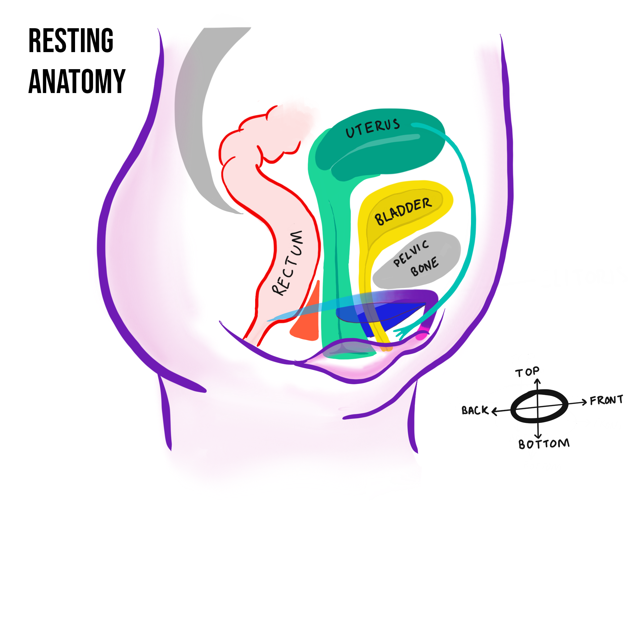 resting anatomy w cumpus 2.png
