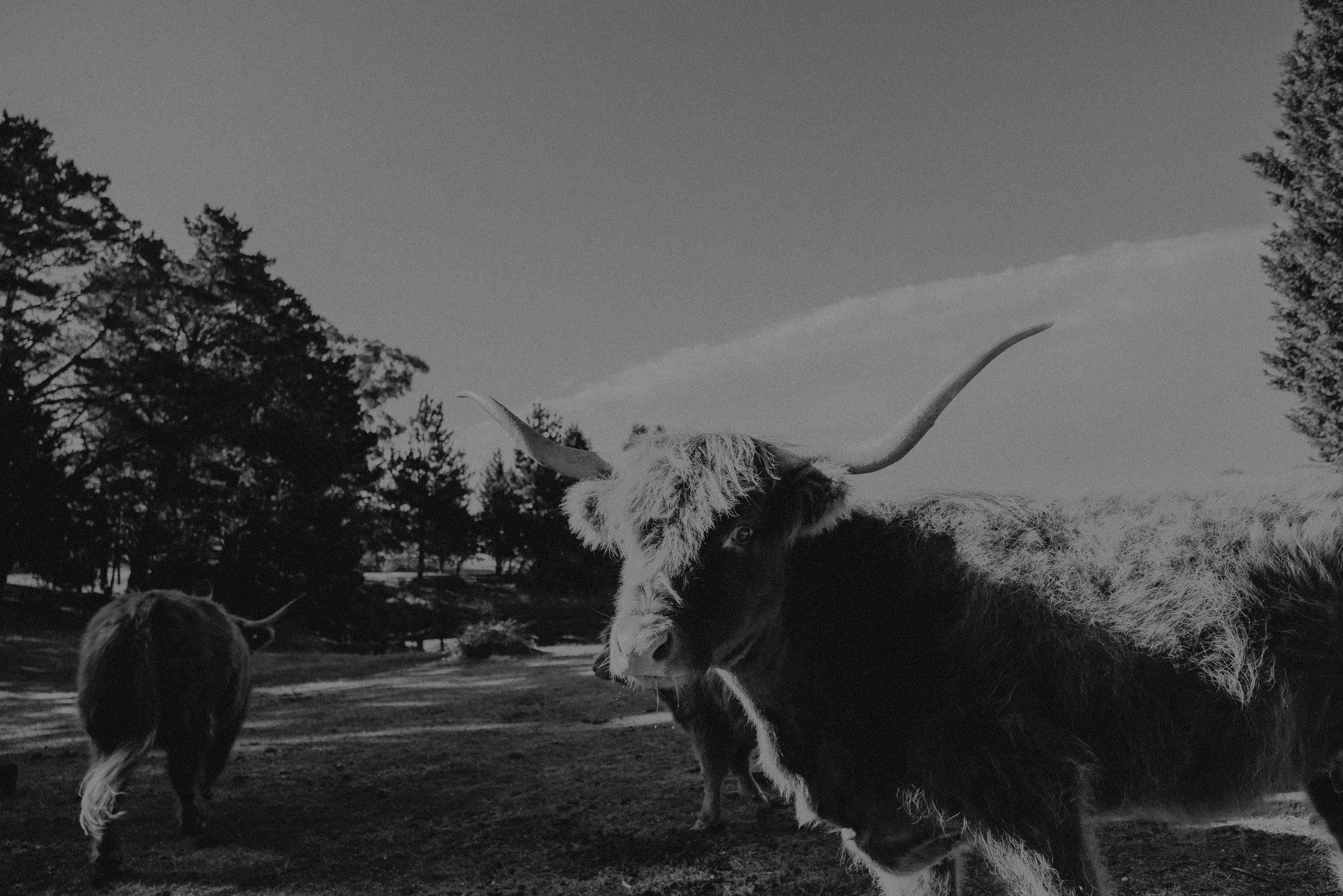 A herd of highland cows at Seclusions Blue Mountains wedding venue, photographed by Kings & Thieves