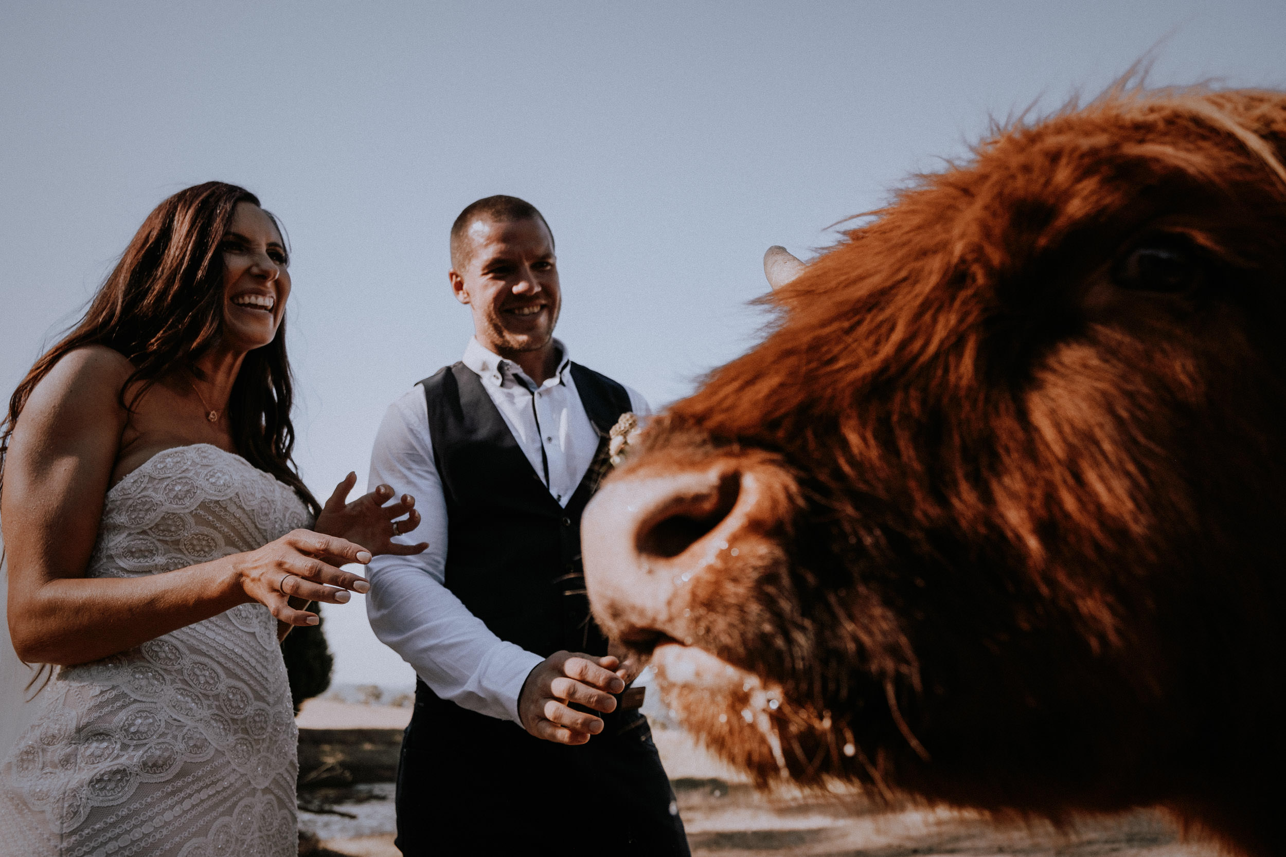 Bride and groom hang out with the highland cows at Seclusions wedding venue, photographed by Kings & Thieves Blue Mountains Wedding Photography