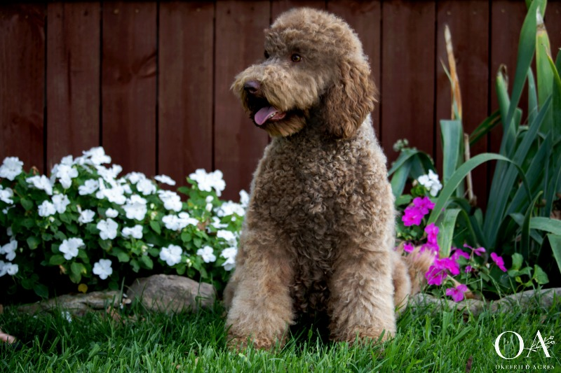 Miss-Okefeild-Acres-Mini-Goldendoodle-Dam-4.jpg