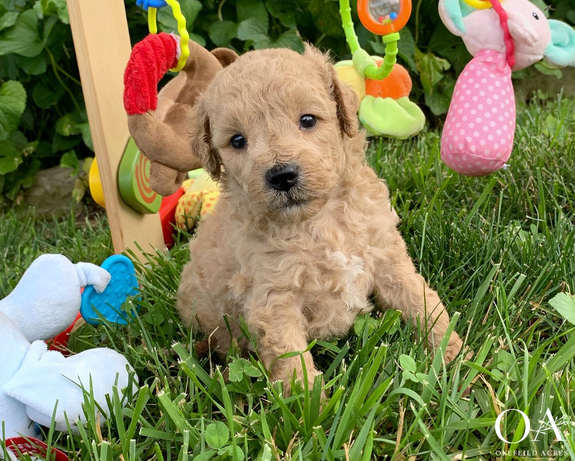 Meet Colby!Adopted Dan Cohen - Birthday: 5/19/19Ready: 7/18/19Gender: MaleColor: ApricotCoat Type: Medium / Very WavyAdult Weight 20 - 25 lbsNeutered: YesMicrochipped: YesParents: Meet Candy / Meet ArmaniTemperament Test Litter Growth VideosWhat a sweet and gentle little boy! Colby temperament tested as a great companion for a family with children. He's a nice mix of cuddly and playful, shows good attention and loves to interact with people. Colby is responding really well during his training sessions and is being taught to:Stand nicely on the table for groomingCrate quietlyWalk on the leash nicelyCome when calledBeginning sitNo jumping upClimbing up and down stepsExposed to our cats during his outdoor training sessionsA lot of work is going into this adorable boy, contact Janet to make this sweet puppy a part of your home!