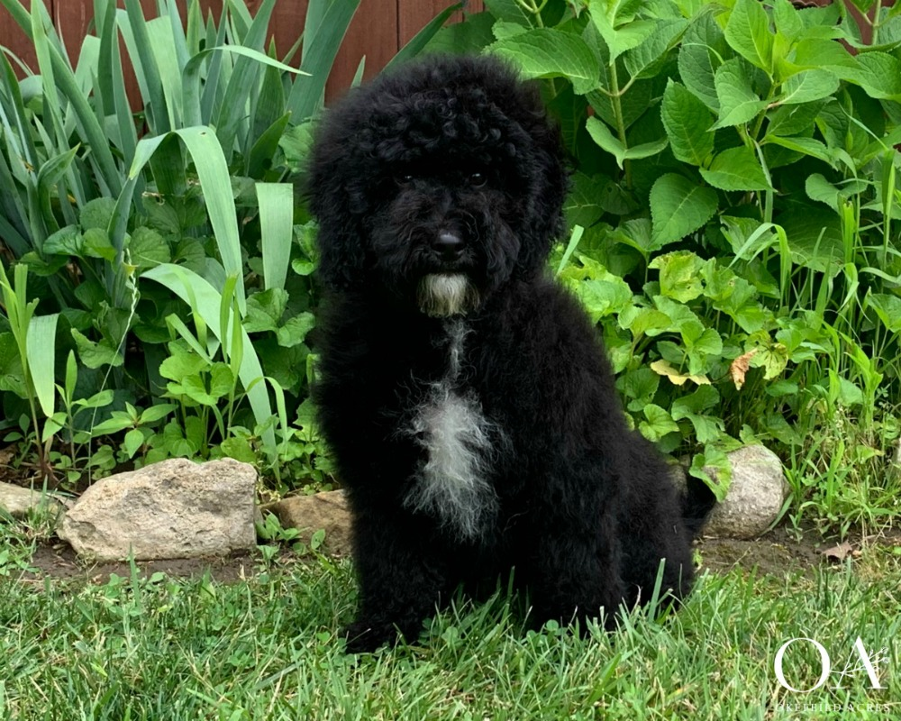 Maddox - Petite Mini Teddybear GoldendoodleBorn 2/13/19Ready To Go Home NowGender: MaleColor: Black AbstractAdult Weight 15 - 20 lbsParents: Meet Missy / Meet BingleySits Quietly For Attention / No JumpingEnjoys being brushedCrates quietly all nightWalks on the leash nicelyComes when calledKnows beginning sitClimbs up and down stepsExposed to our cats during outdoor training sessions$4000