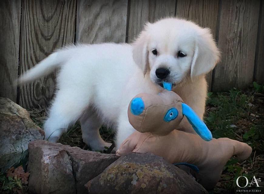 Okefeild-Acres-English-Cream-Golden-Retriever-Puppies-2.jpg