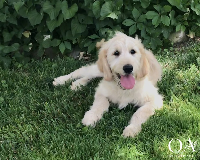 Georgette - F2 Teddybear Standard GoldendoodleReady To Go Home: NowApricot Female AvailableAdult Weight: 65 lbs$4000
