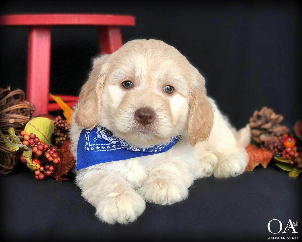 Mercer - AdoptedCourtney Jonke - 2nd Goldendoodle From Okefeild Acres!Birthday: 8/30/19Ready: 10/25/19Gender: MaleColor: Apricot Coat Type: Medium WavyAdult Weight 20 - 25 lbsNeutered: YesMicrochipped: YesParents: Meet Millie / Meet ArmaniTemperament TestWhat a sweet and loving little boy! Mercer temperament tested as a great companion for a family with children. He's a nice mix of cuddly and playful! He shows good attention and loves to interact with people and is also responding really well during his training sessions. Mercer is being taught to:Stand nicely on the table for groomingCrate quietlyWalk on the leash nicelyCome when calledBeginning sitNo jumping upClimbing up and down stepsExposed to our cats during her outdoor training sessionsA lot of work is going into this happy boy, we are excited for Mercer to meet Wrigley and his new family!