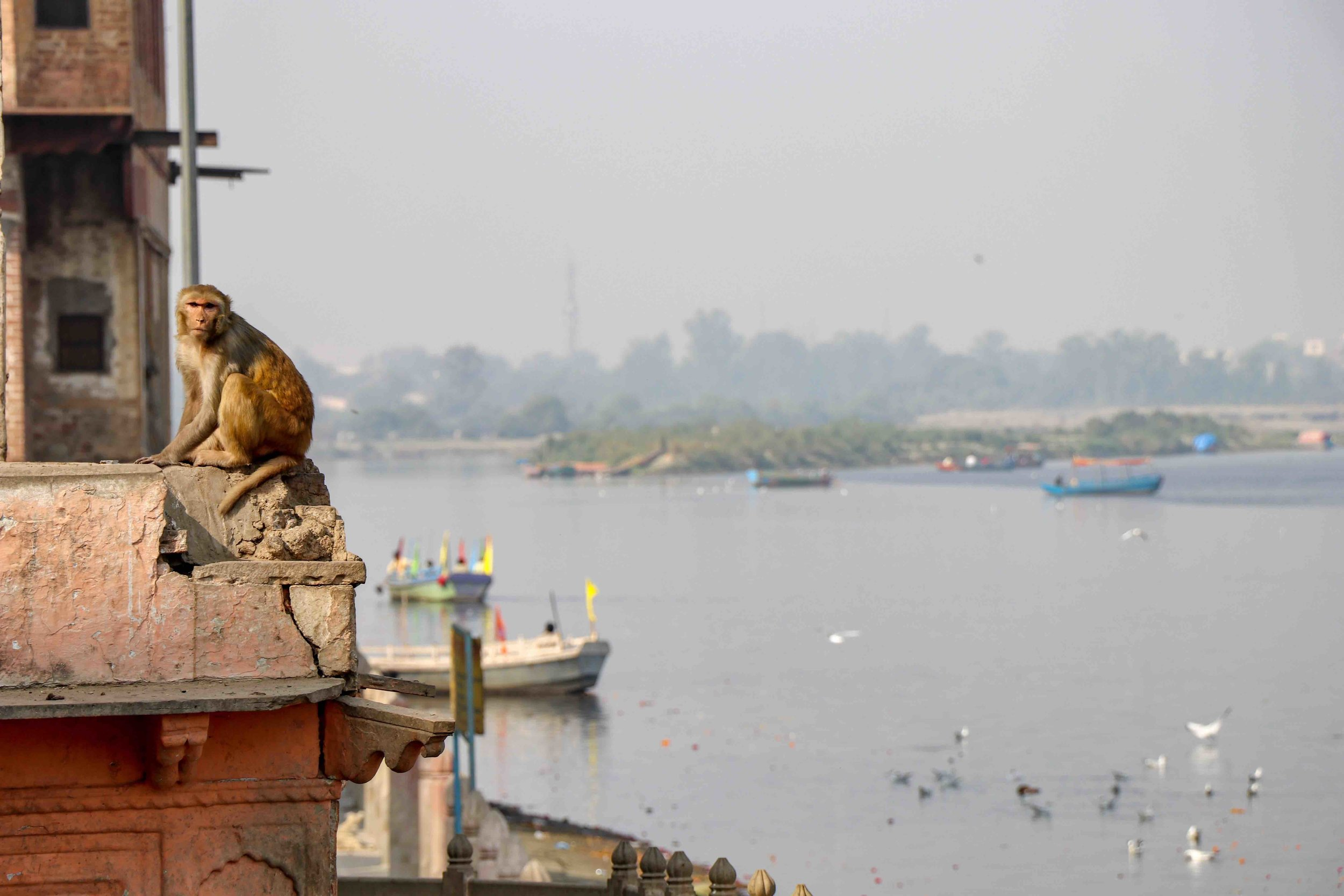 Monkey on look-out over holy river Yamuna in Mathura, India.