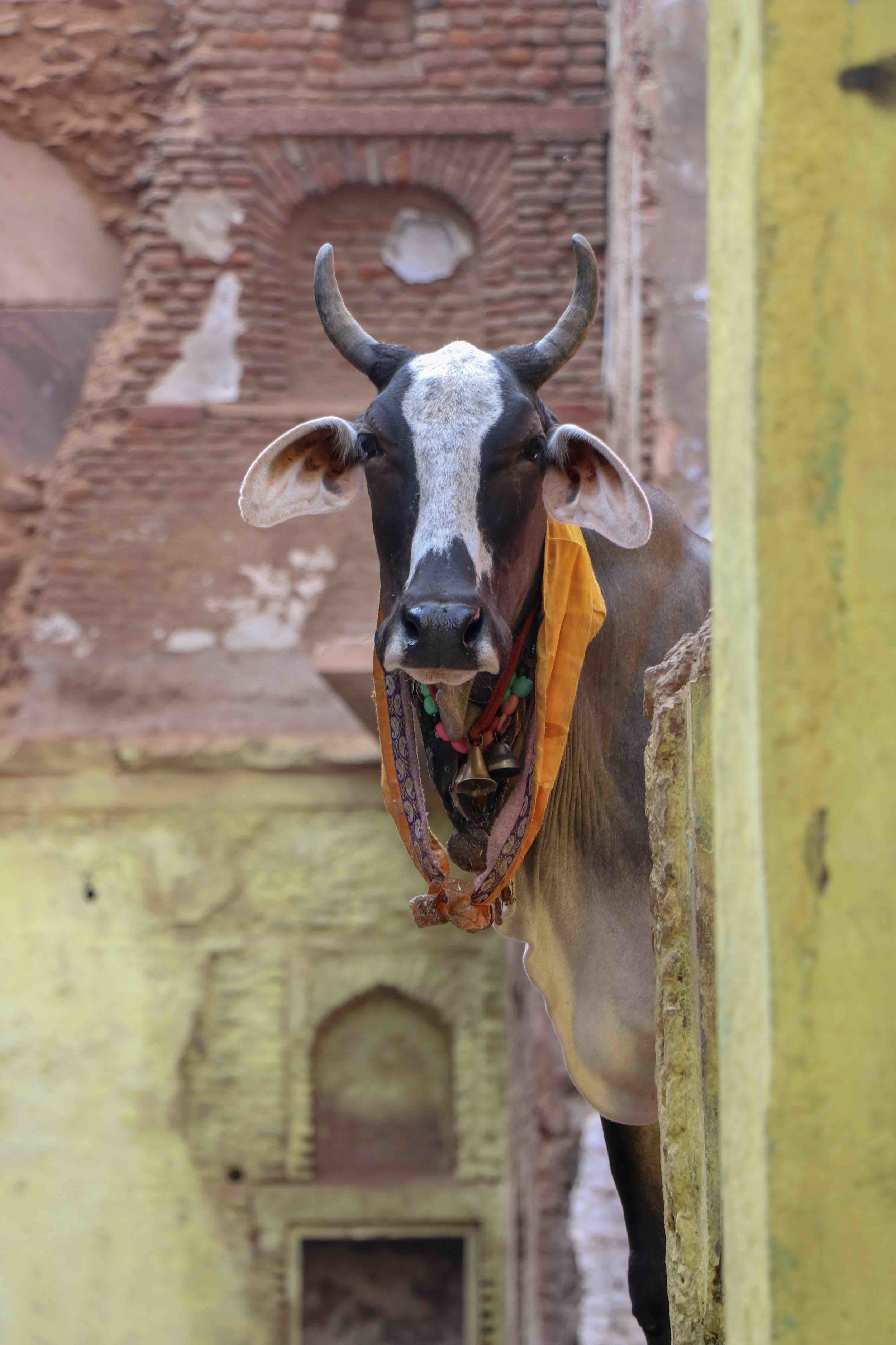 Holy cow in Mathura - India.