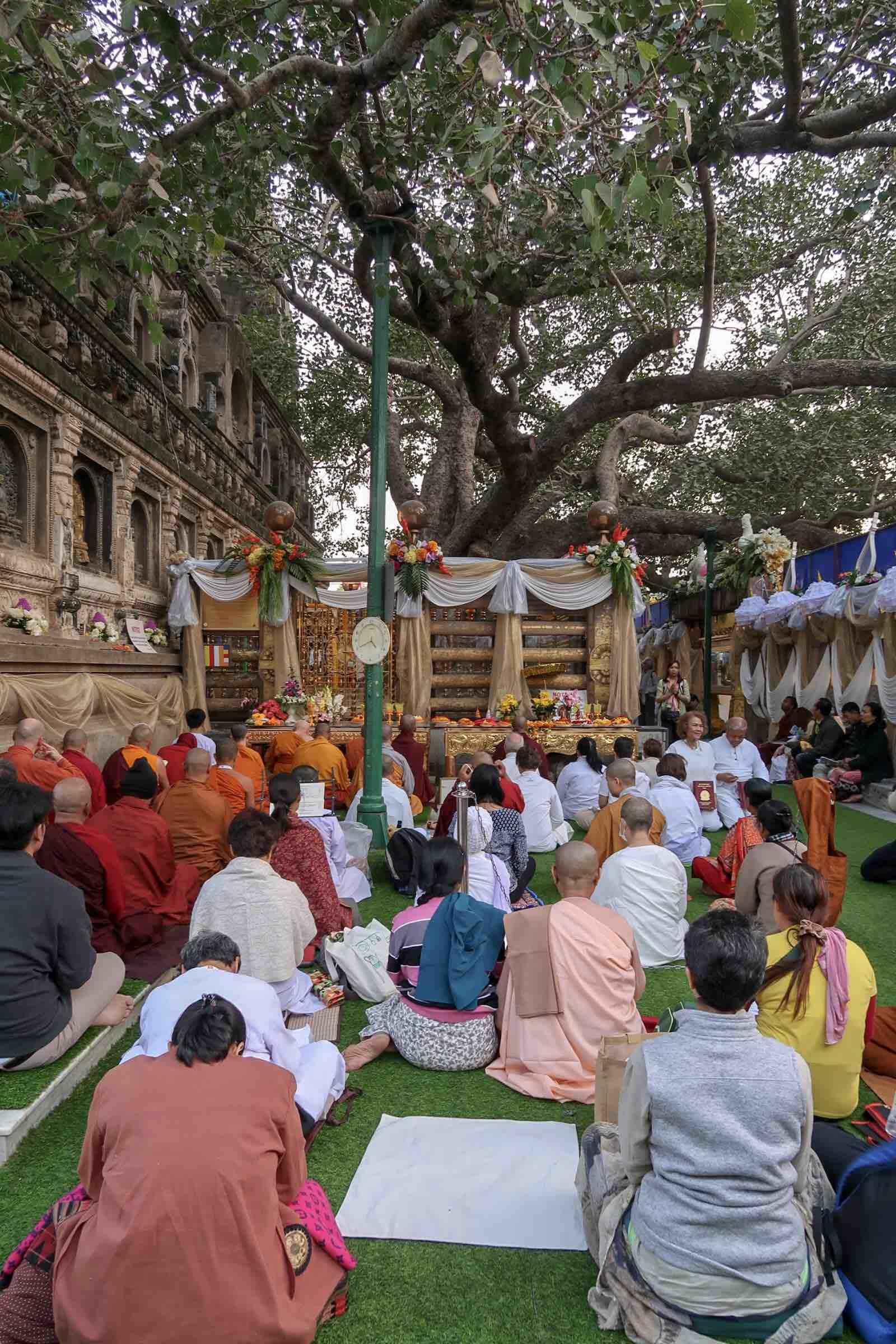 Bodhi Tree at Mahabodhi Temple Complex in Bodhgaya, India. This tree is a 'descendant' of the original Bodhi tree underneath which Buddha reached enlightenment.