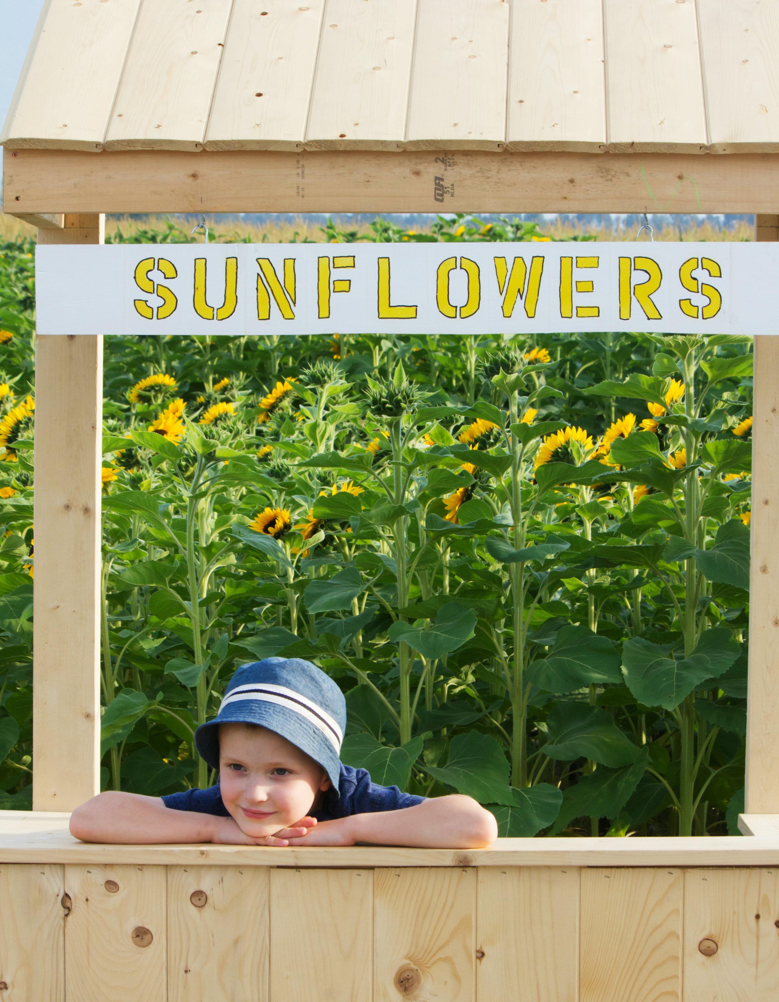 Sunflowers BC