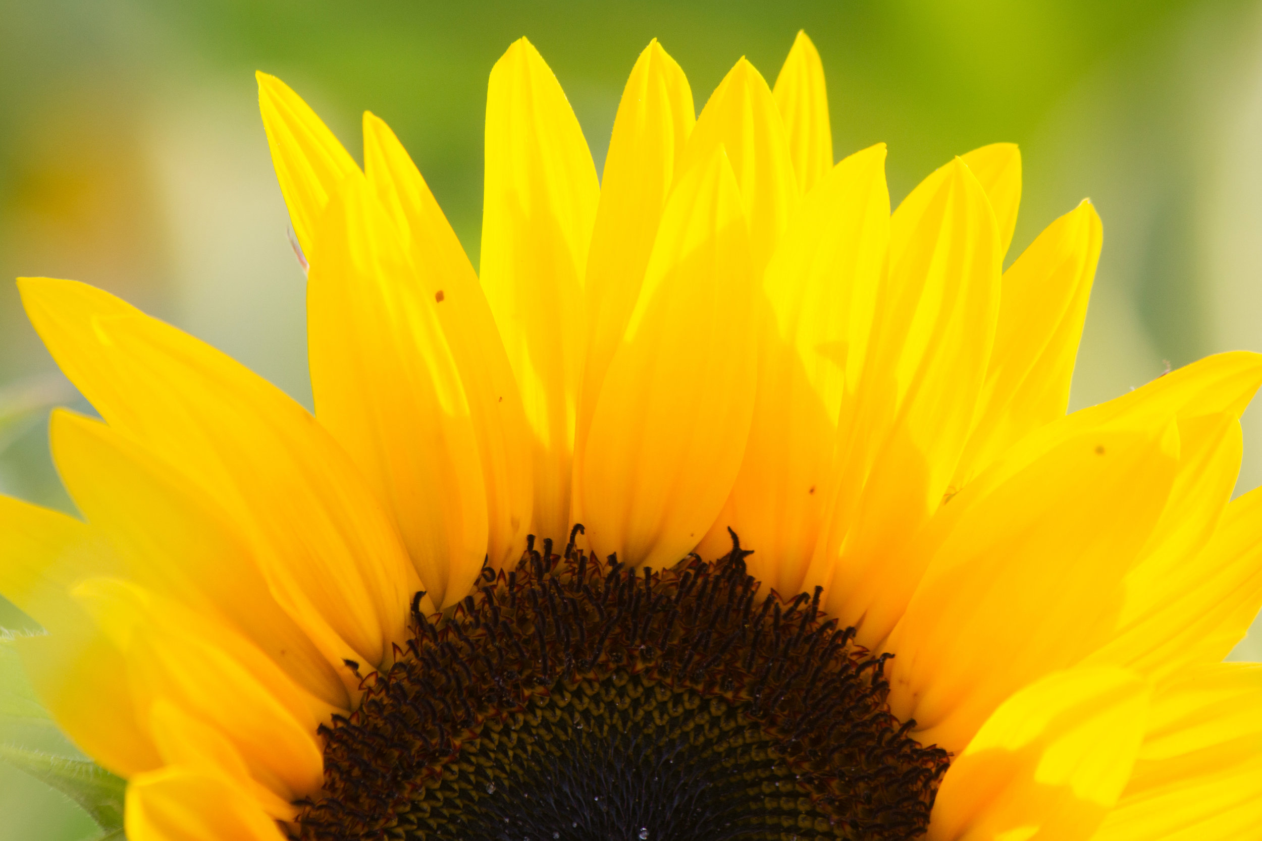 Chilliwack Sunflower Festival Locally Obsessed