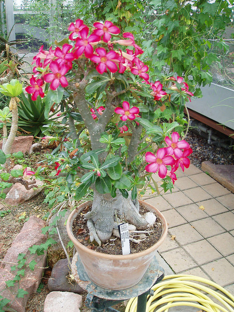 desert rose.jpg