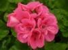 nature-flower-geranium-pink.jpg