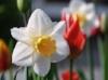 flower-narcissus-spring-white-osterglocken-tulip.jpg