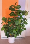 rubberplant.jpg