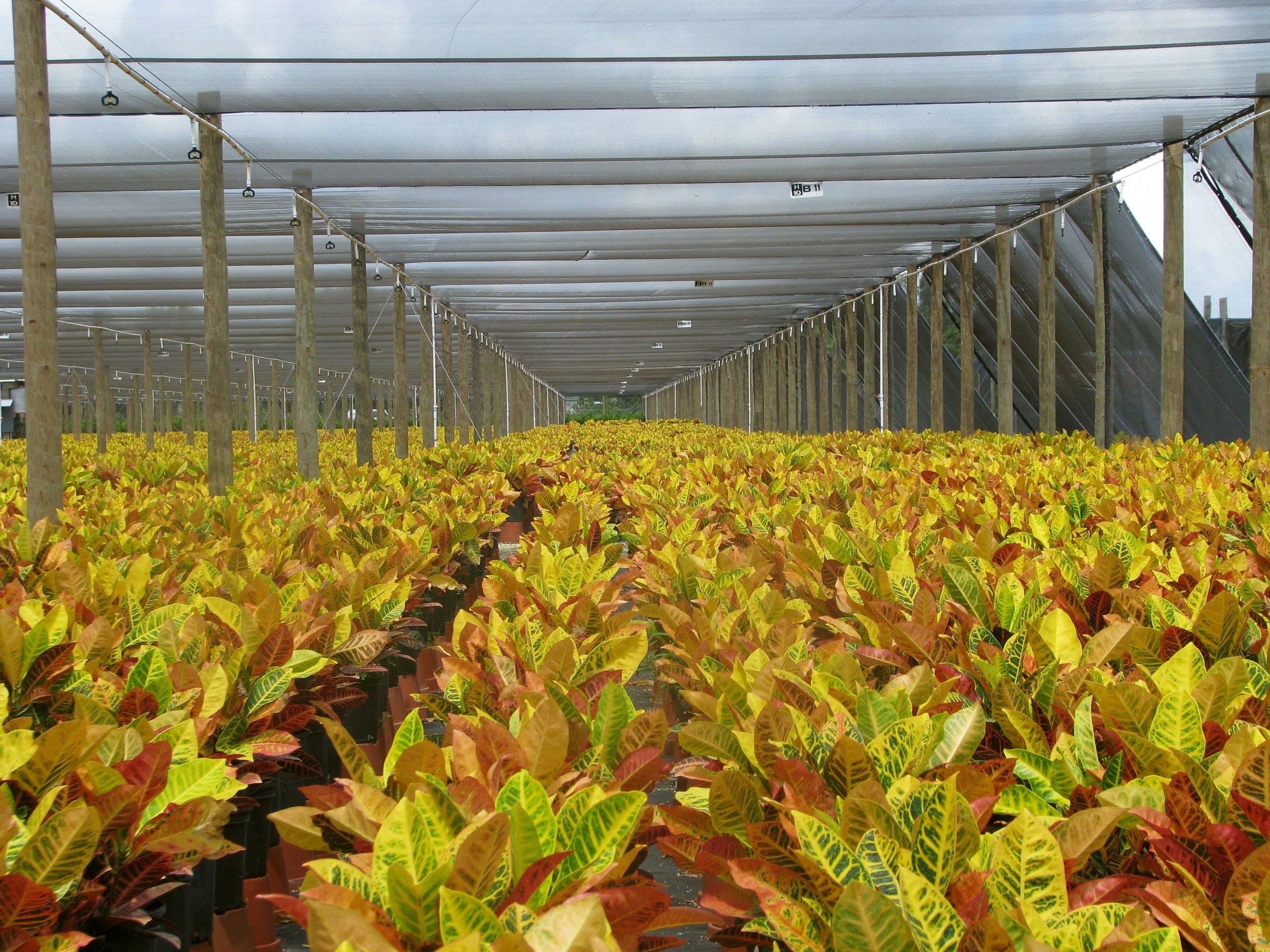 Costa Farms Crotons.jpg