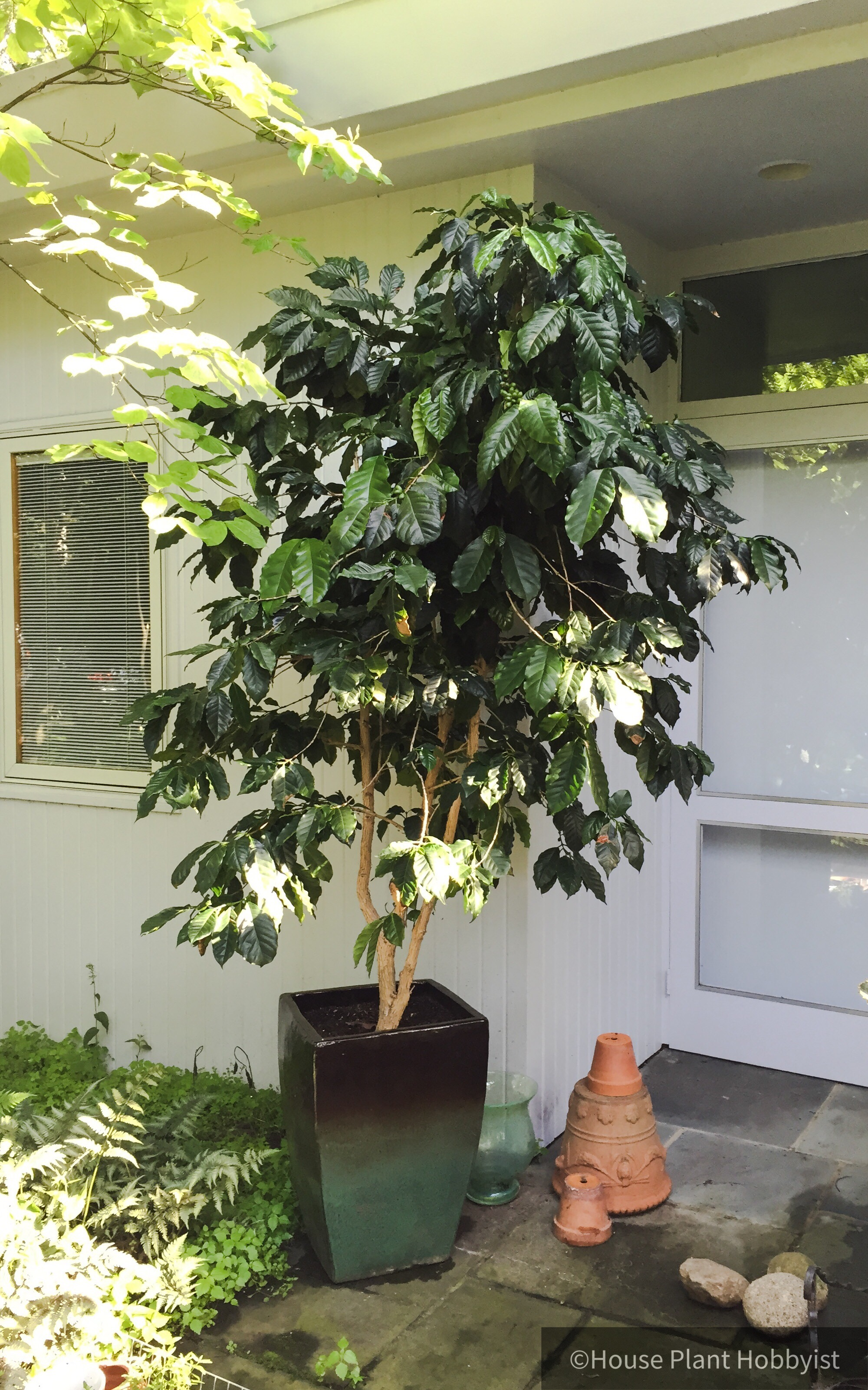 The oldest coffee tree in the family.