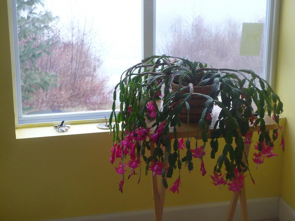 Christmas Cactus5.jpg