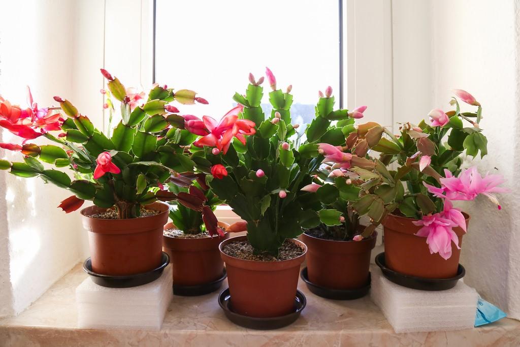 Thanksgiving Cactus9.jpg