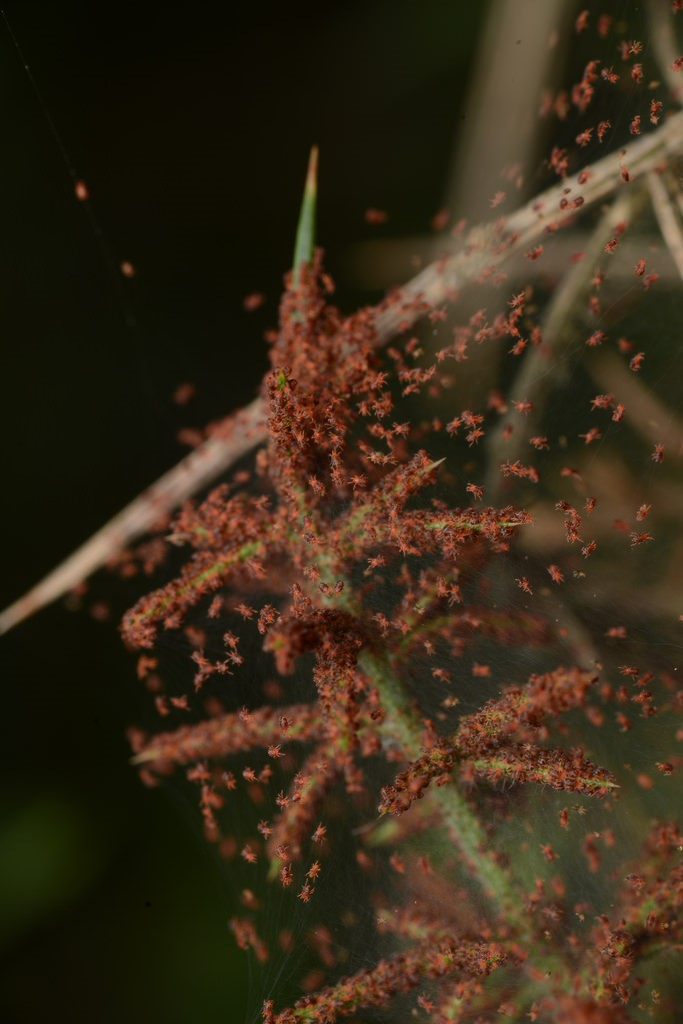 Spider mite5.jpg