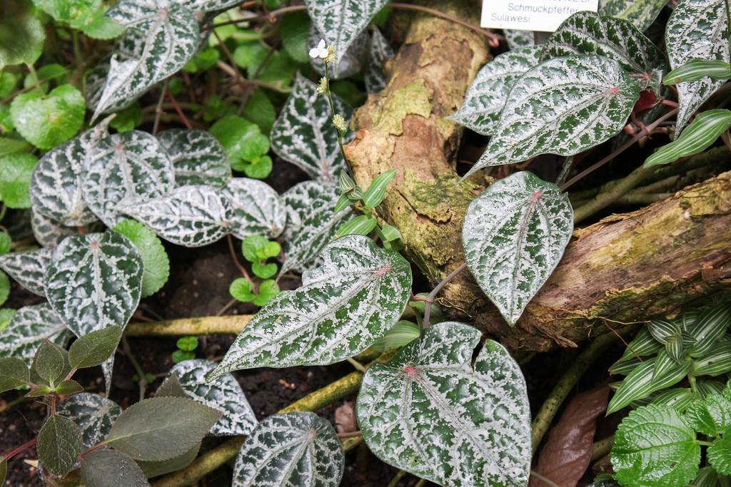 Piper ornatum.jpg