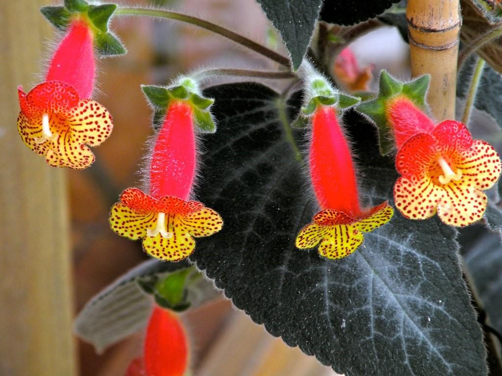 Kohleria rhizome.jpg