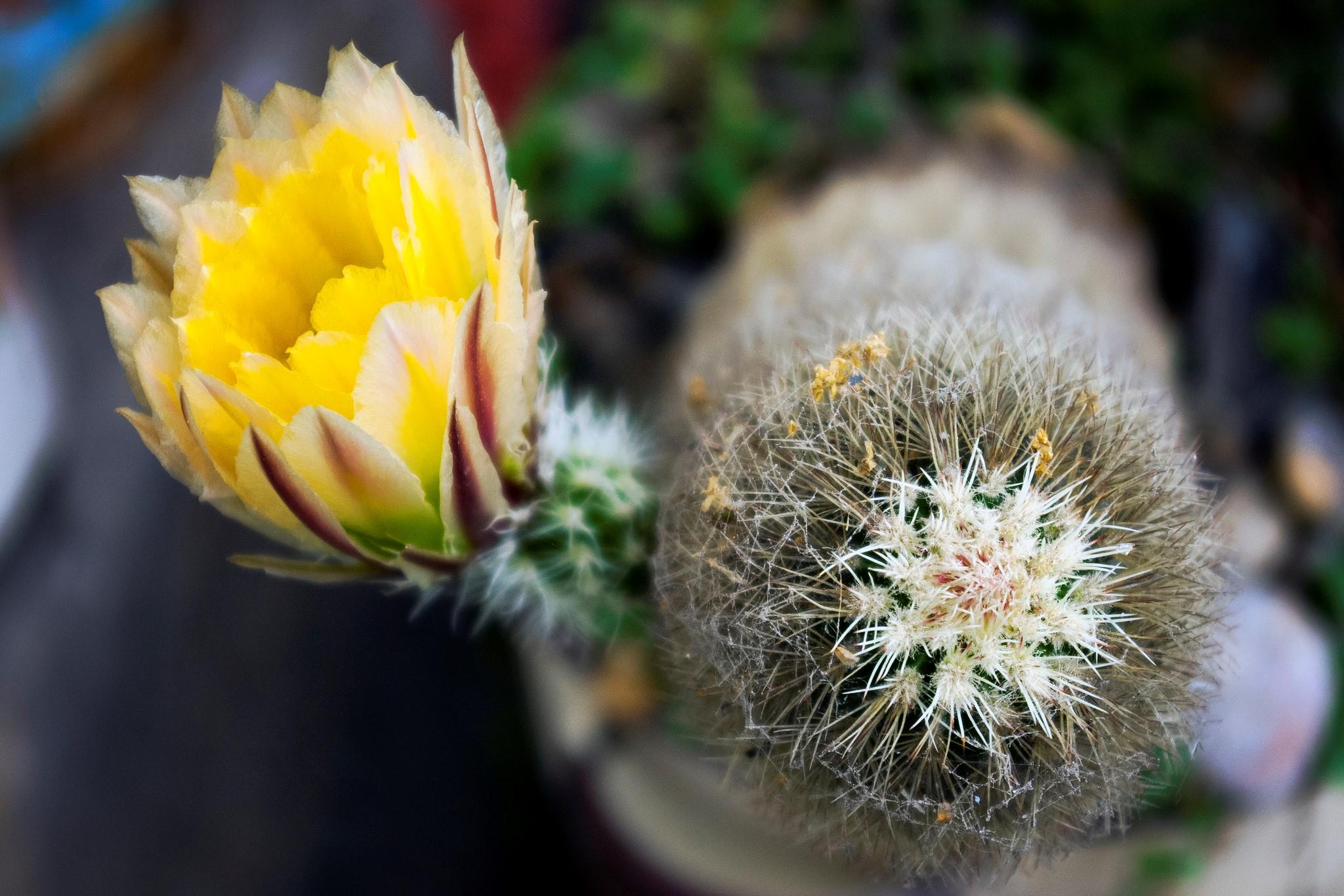 blooming cactus3.jpg